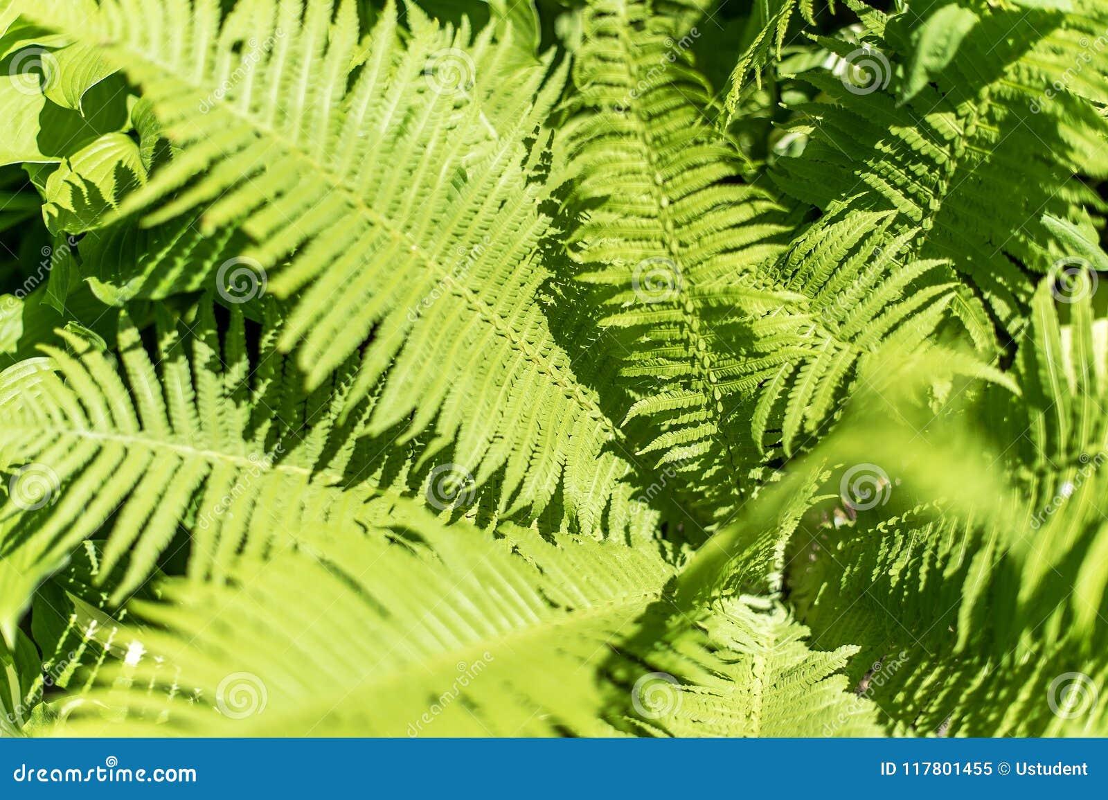 Hojas verdes del helecho
