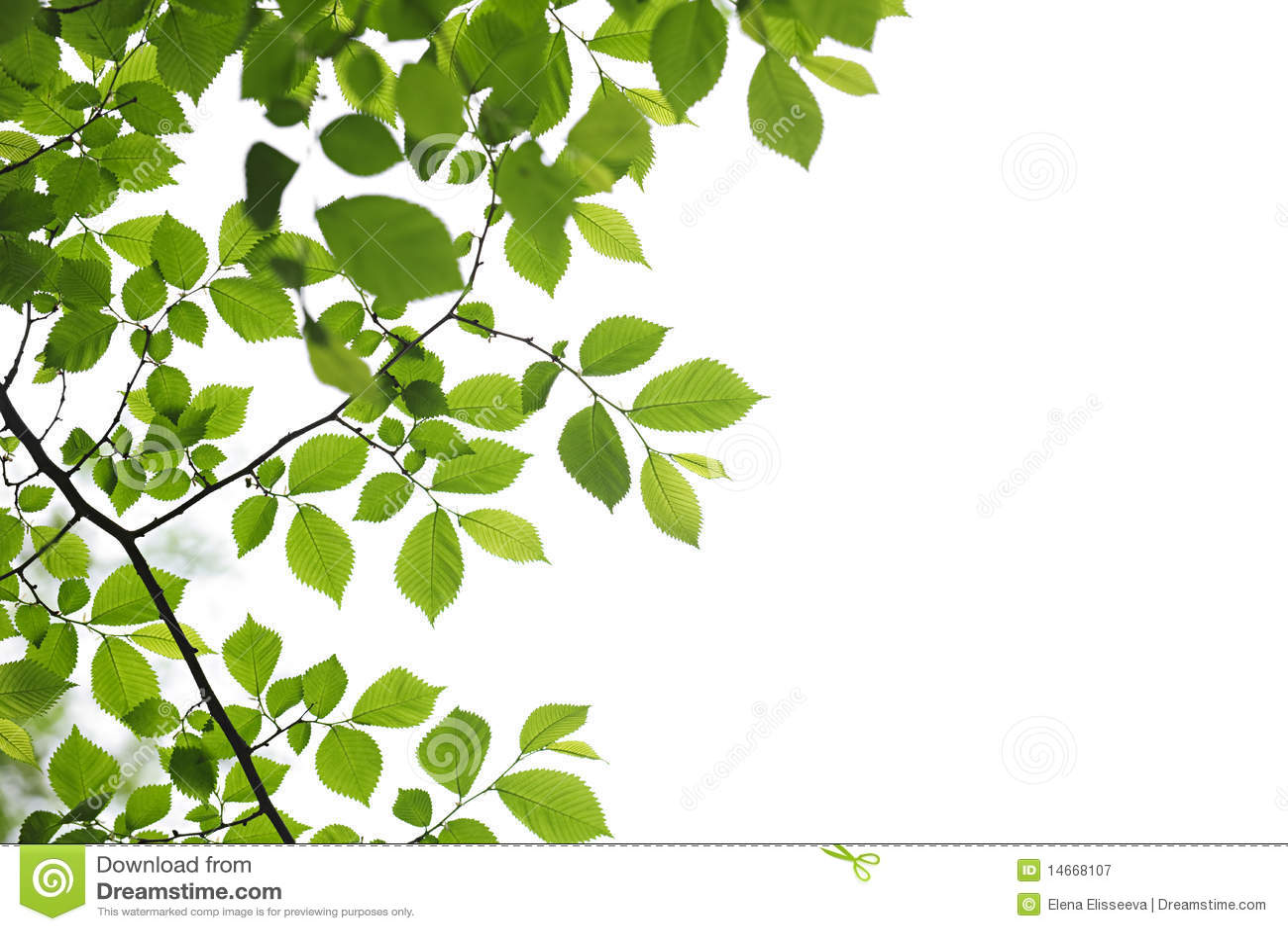Hojas Verdes Del Resorte En El Fondo Blanco Imagen De