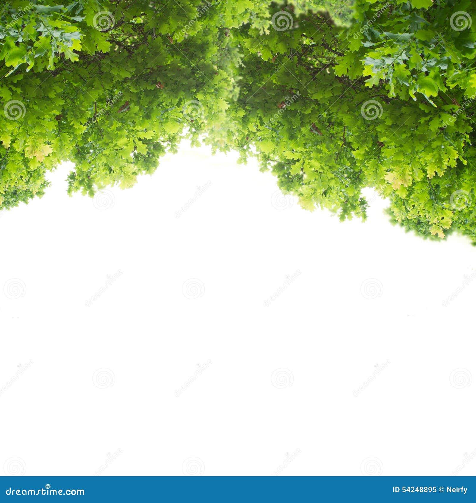 Hojas verdes del roble