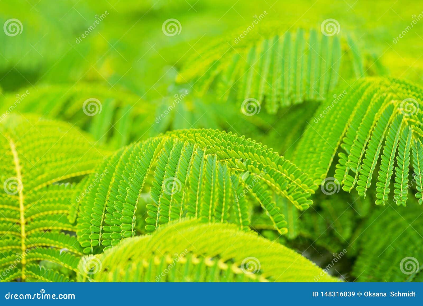 Hojas verdes hermosas del árbol de llama