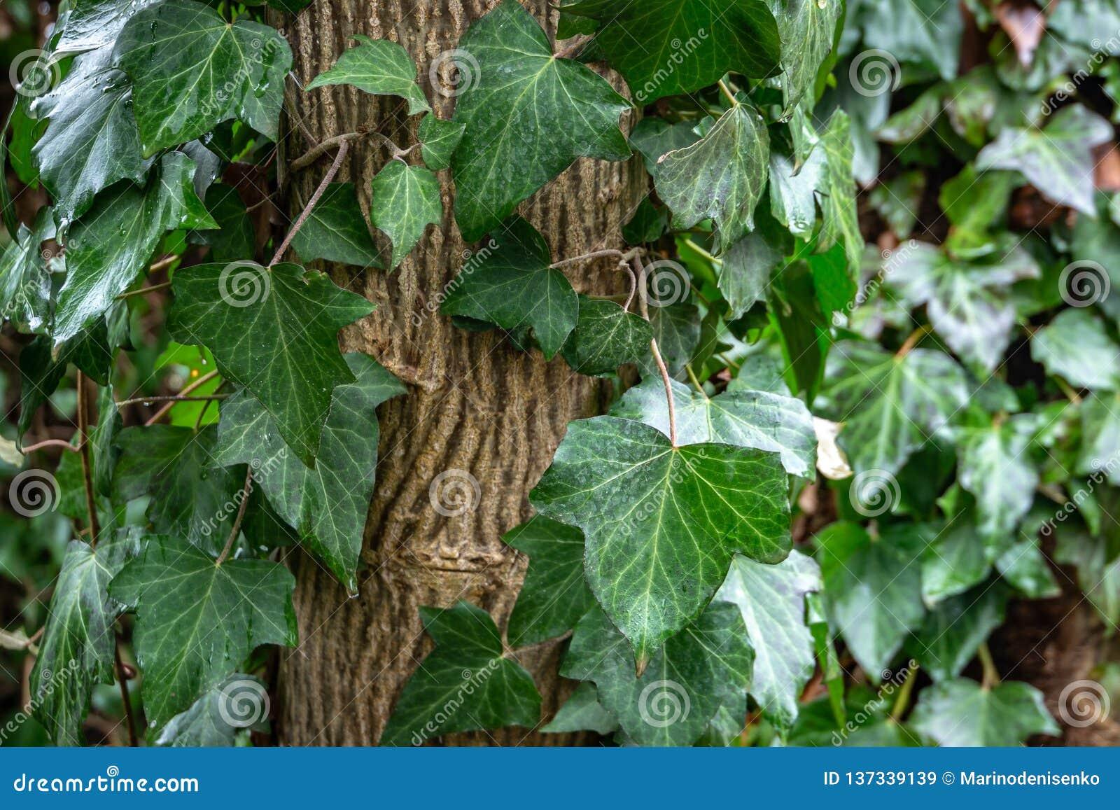 Hojas verdes mojadas de la hélice de Hedera de la hiedra común, o hiedra europea, hiedra inglesa que se arrastra encima del árbol