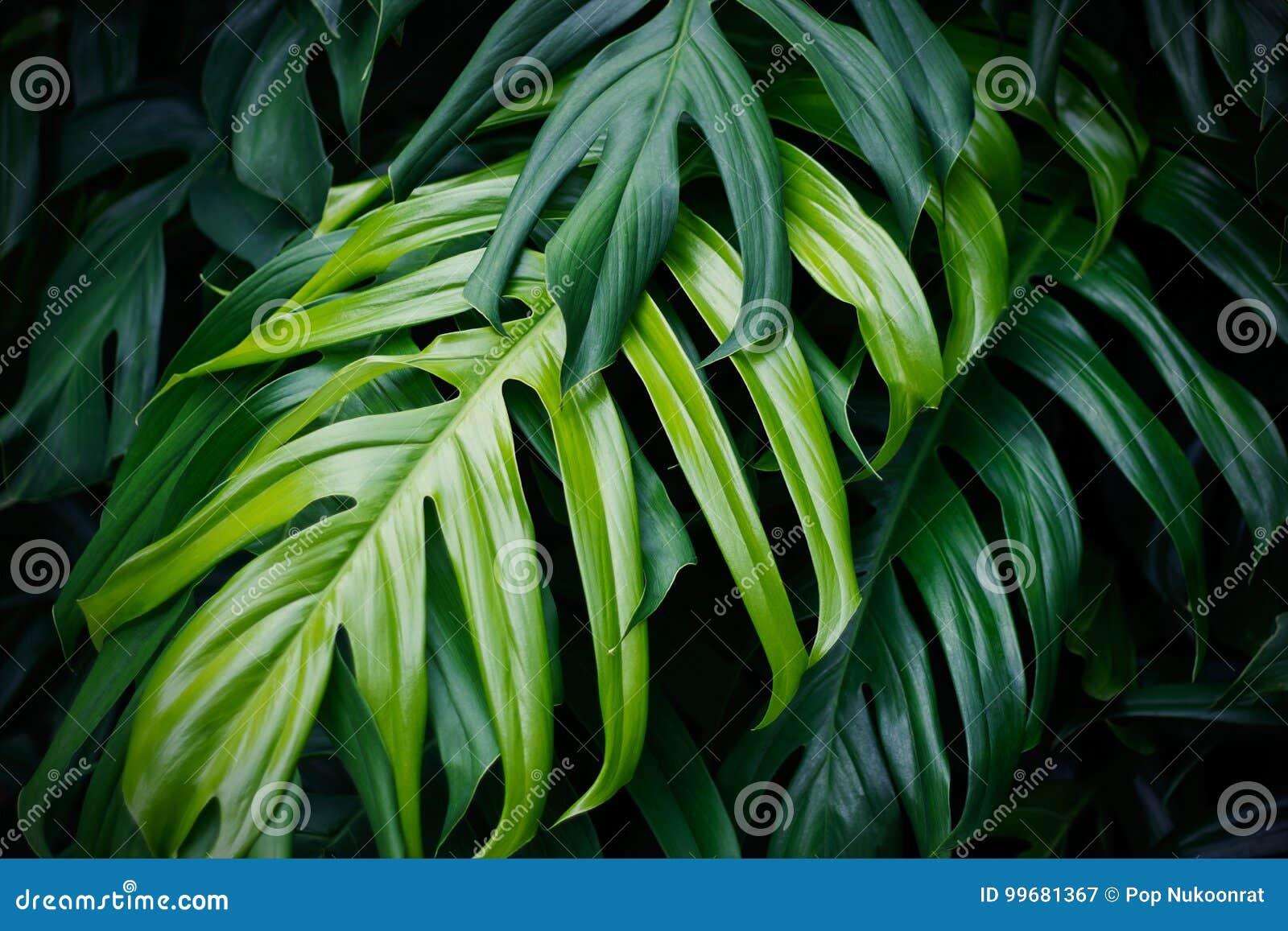 Hojas verdes tropicales, planta del bosque del verano de la naturaleza