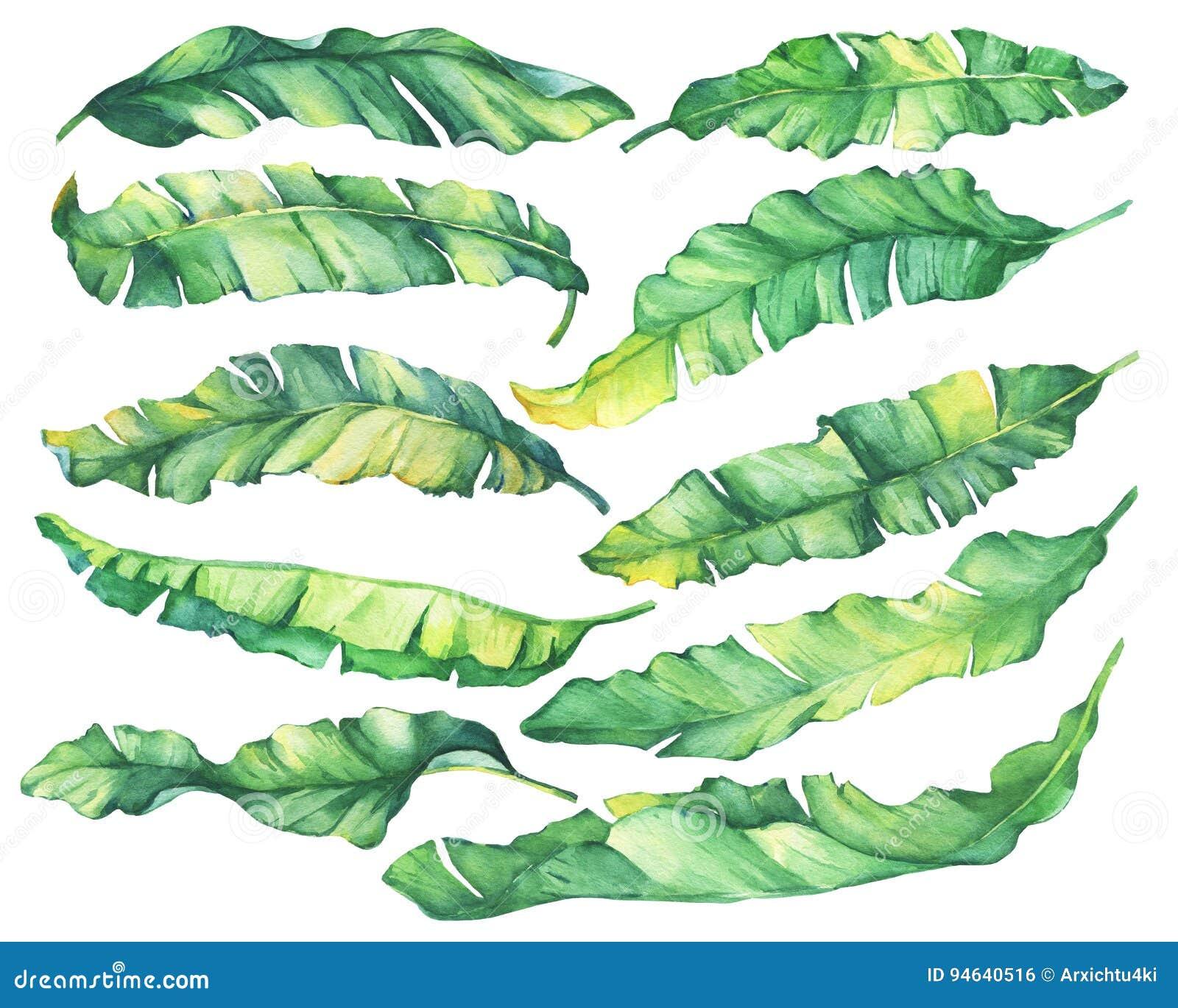 Hojas verdes y amarillas del plátano tropical exótico del sistema grande