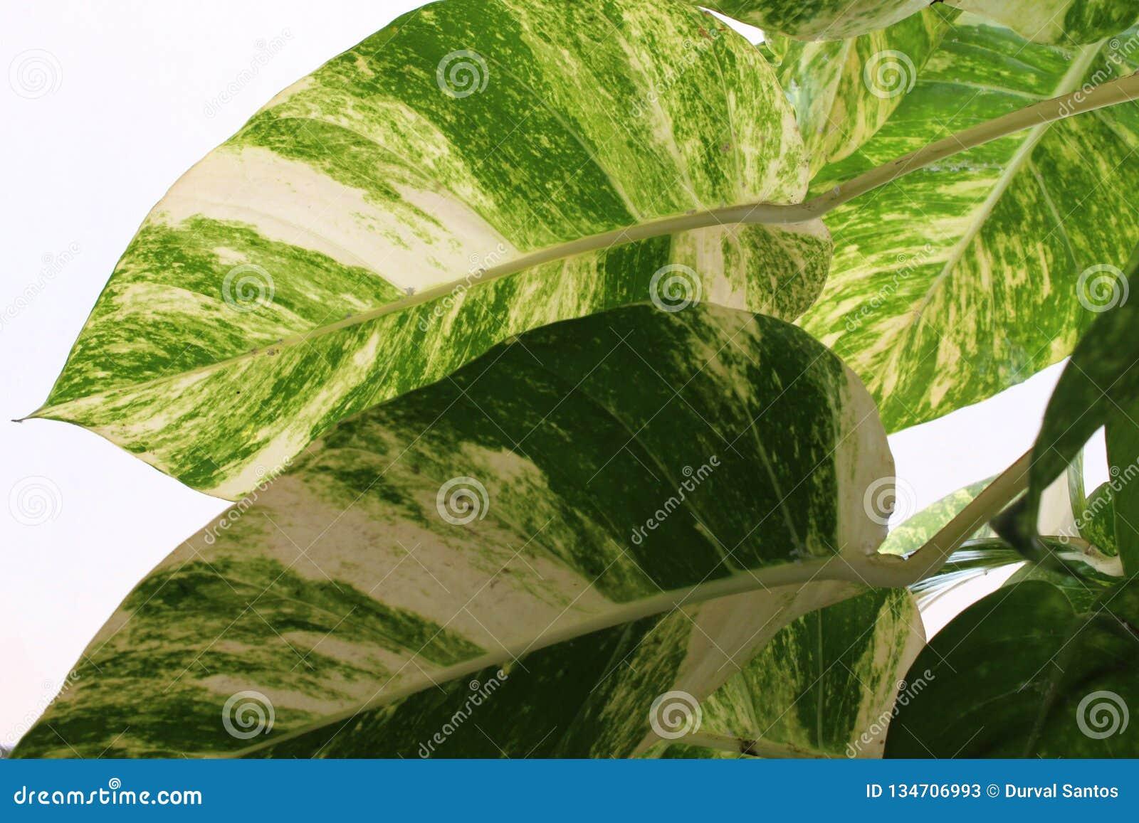 Hojas verdes y blancas de una planta