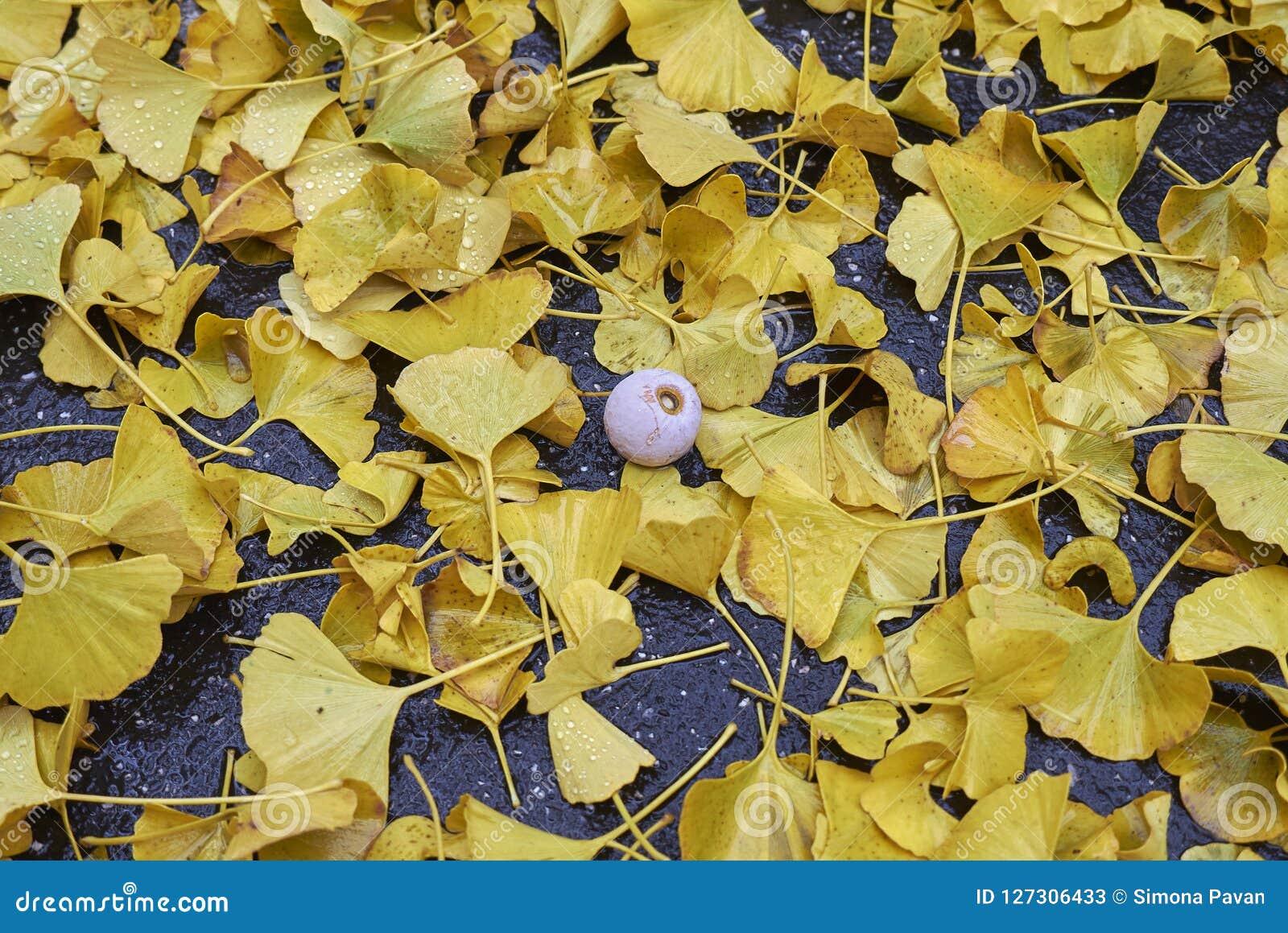Hojas y fruta caidas amarillo del biloba del Ginkgo