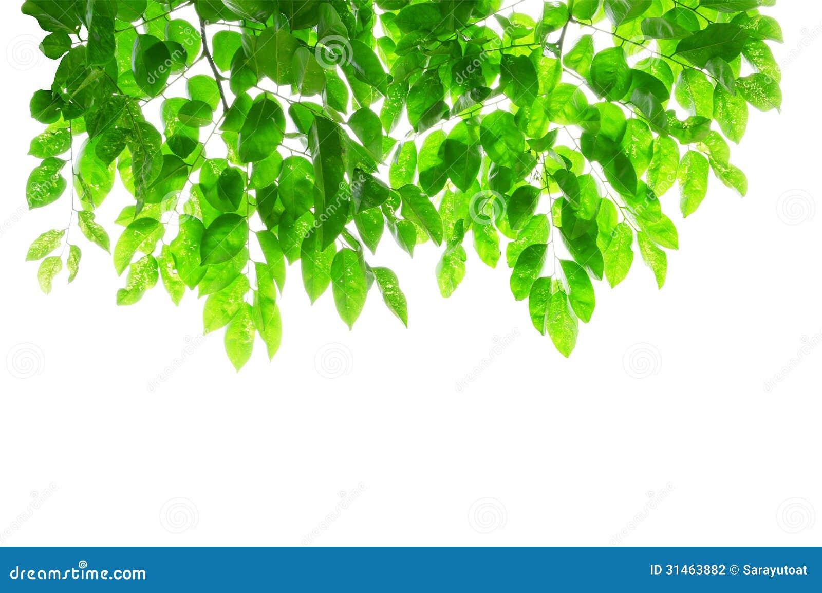 Hojas Y Ramas Del Verde En El Fondo Blanco Con La Parte
