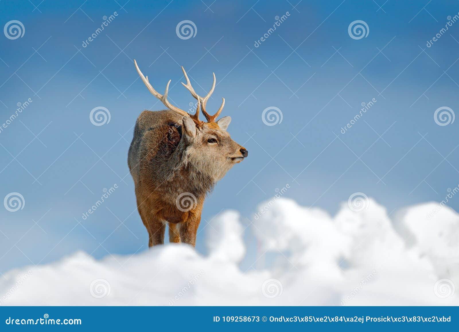 Hokkaido sikahjortar, Cervusnippon yesoensis, i snöäng, vinterberg och skog i bakgrunden Djur med hornet på kronhjort in