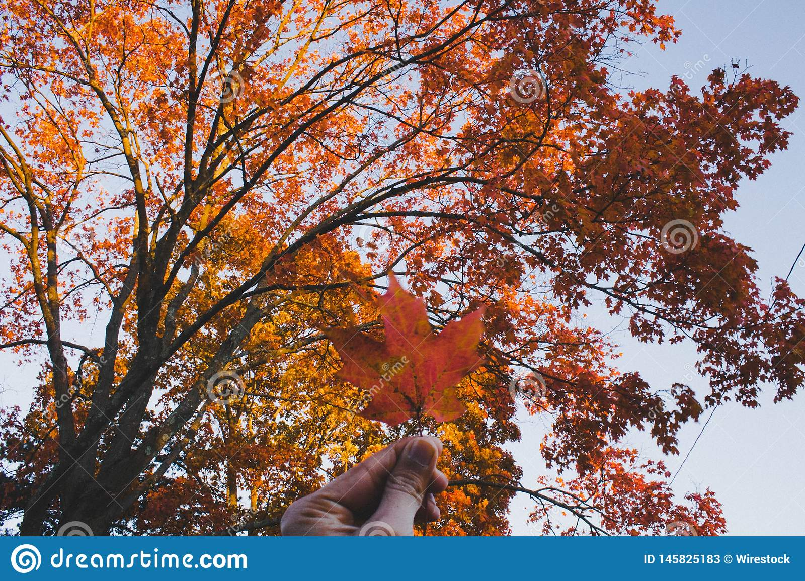 A golden leaf in hand with a beautiful Autumn tree in the background