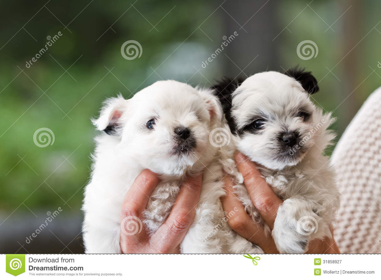 Holding Puppies Stock Image Image Of Adorable Puppies 31858927