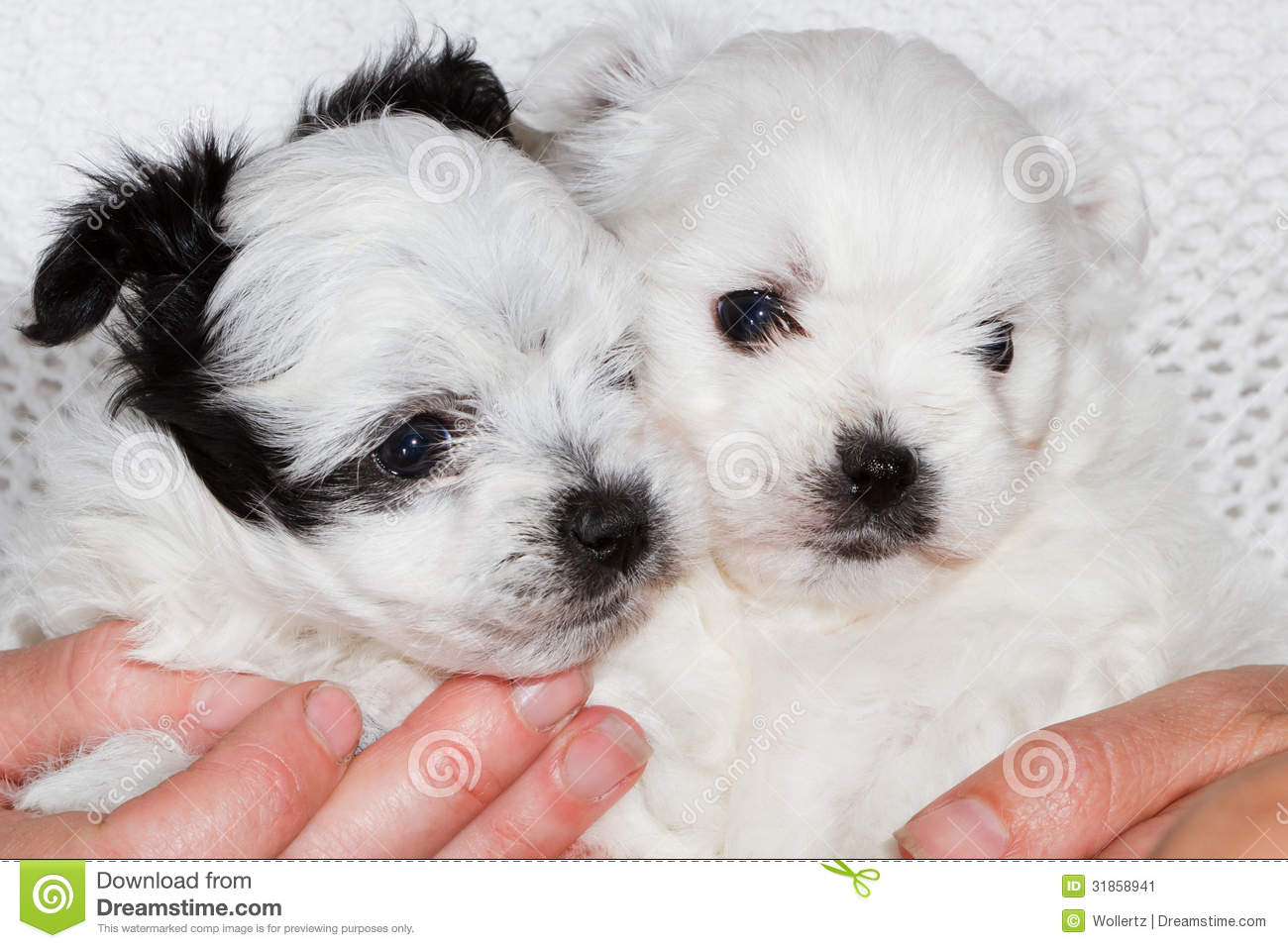 Holding Puppies Stock Image Image Of Tiny Pets Breed 31858941
