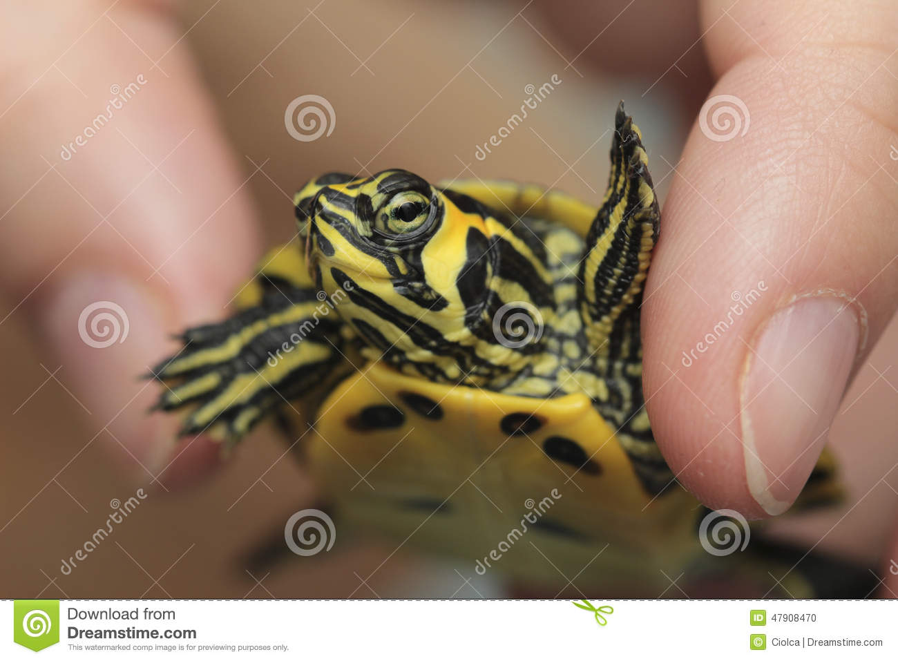 Download Holding A Small Painted Turtle Stock Photo - Image of zoology, interesting: 47908470