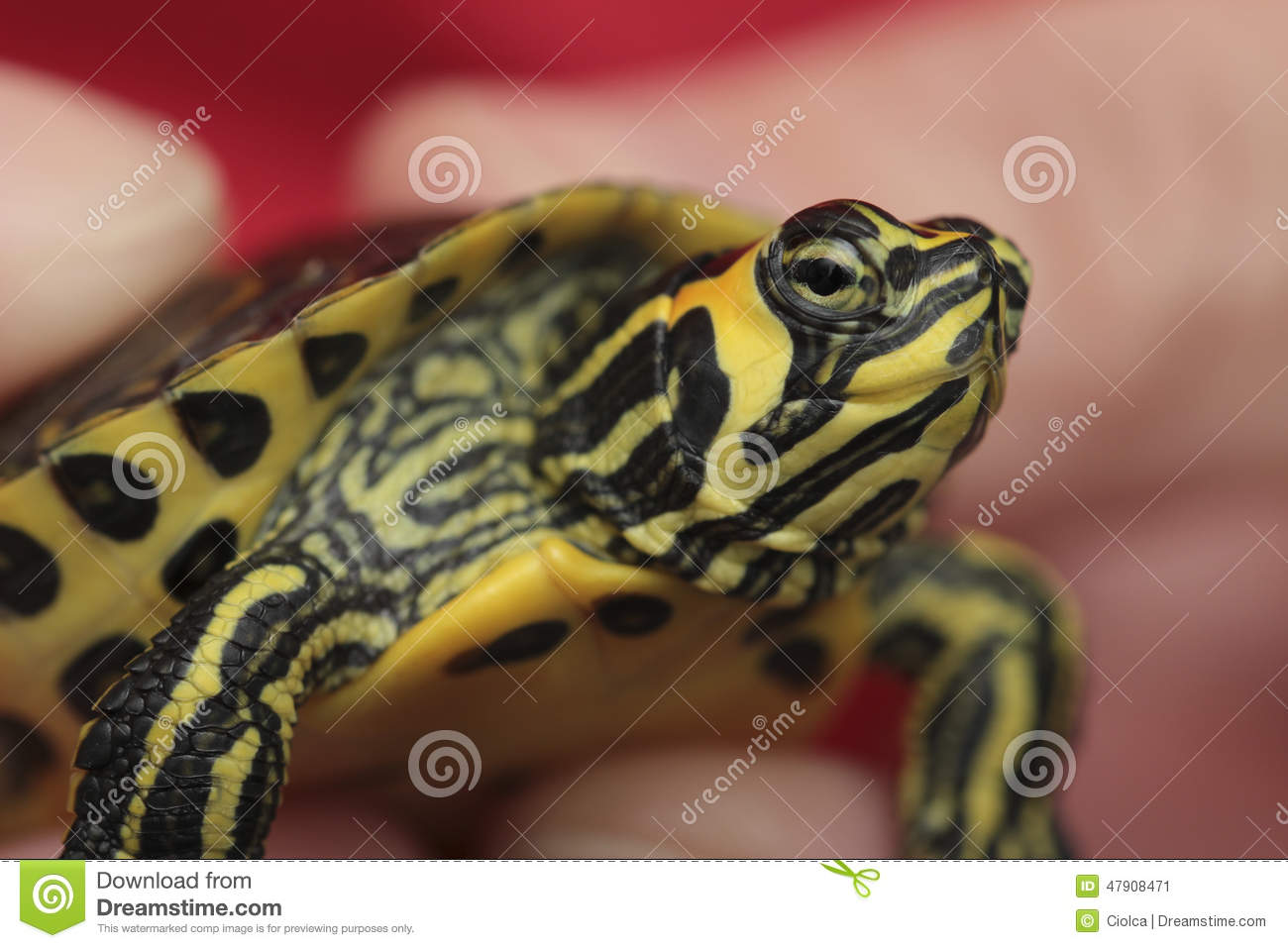 Download Holding A Small Painted Turtle Stock Image - Image of nature, picta: 47908471