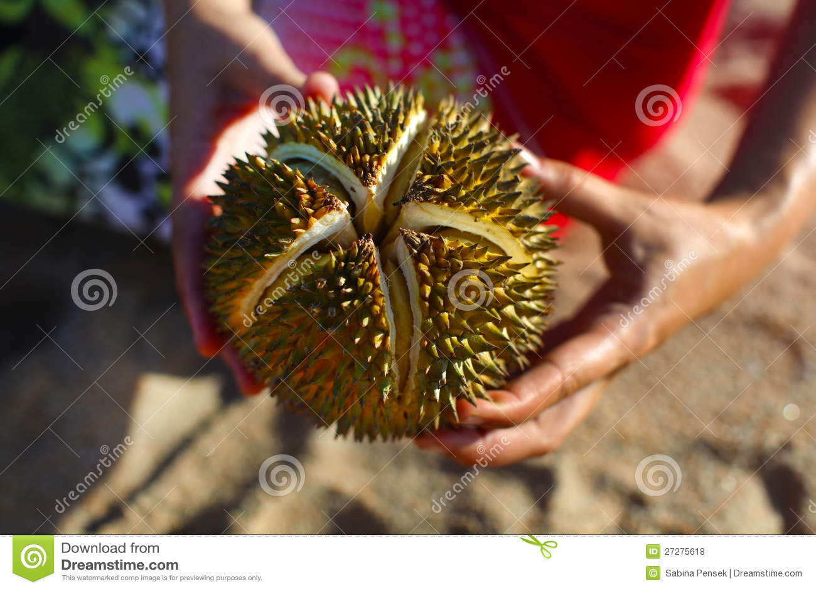 Holdingen för Durianmutterfrukt i händer som är spruckna öppnar