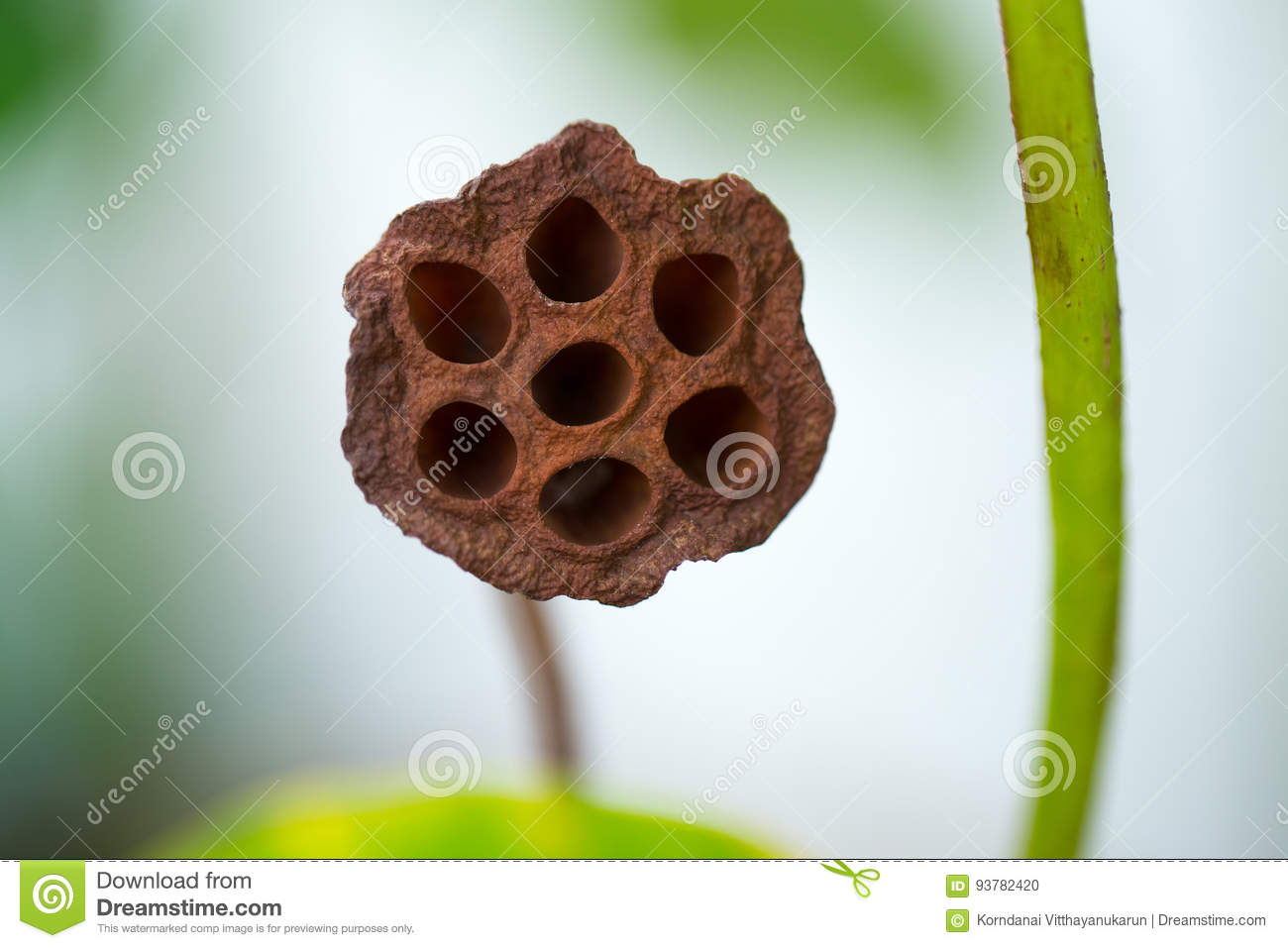 Hole of dried lotus seed for medical image test Trypophobia phobia.