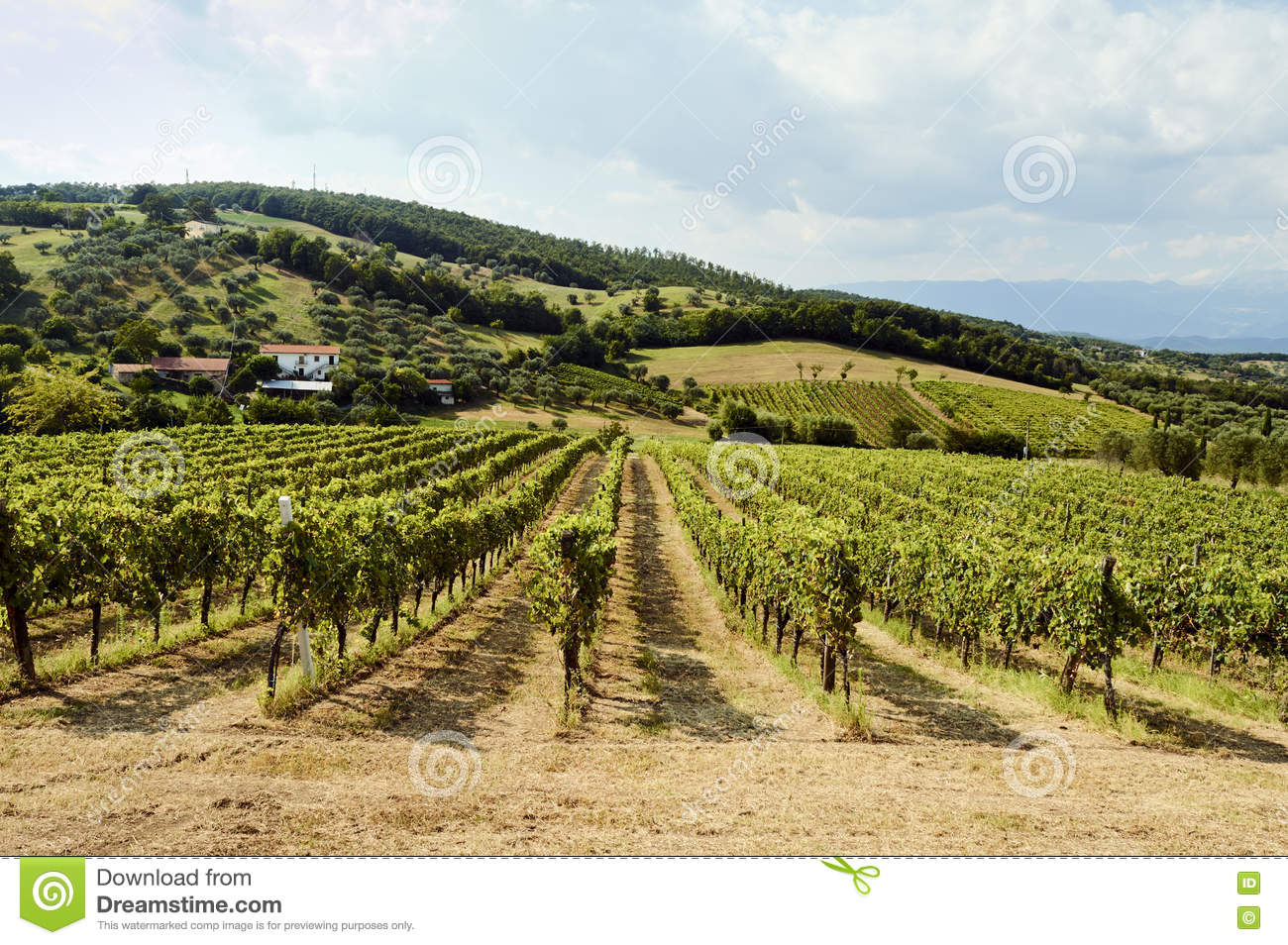 Holiday in the countryside on the hills, visiting the vineyards of pallagrello, typical and valuable wine produced in
