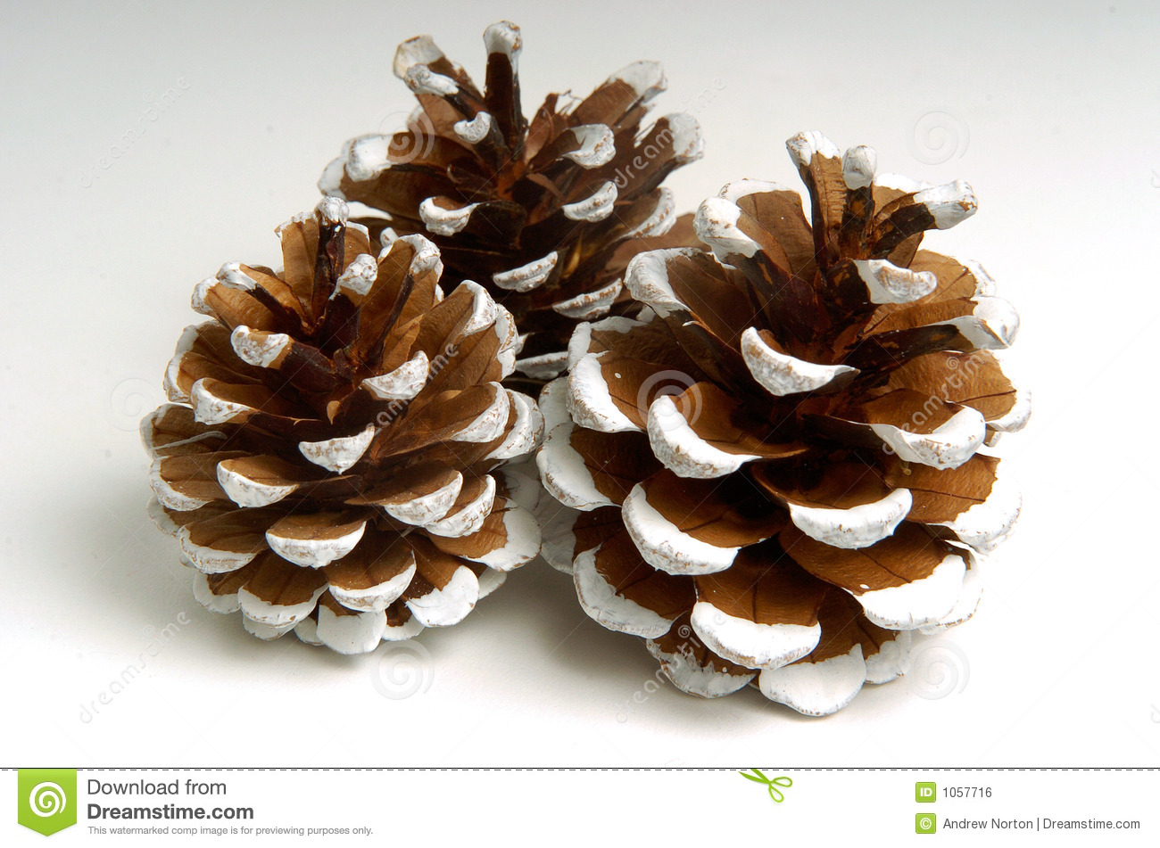 Holiday pine cones stock photo image of white frost