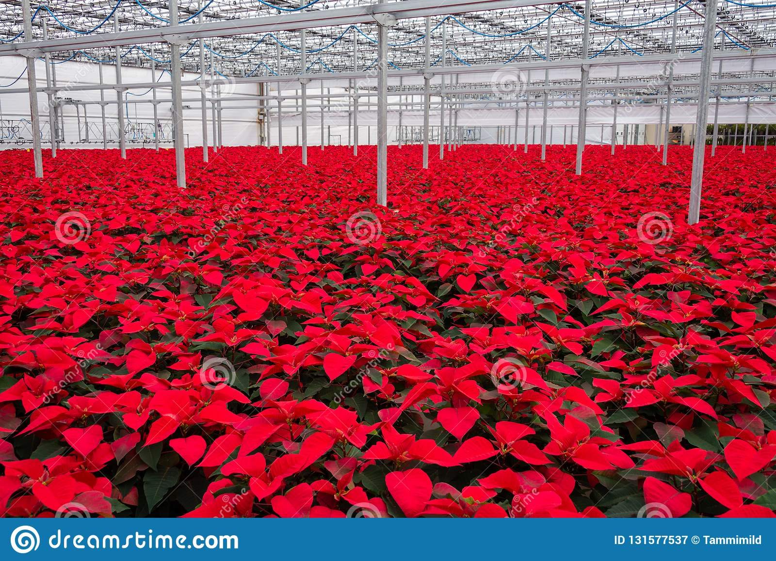 Indoor large greenhouse poinsettia flowers