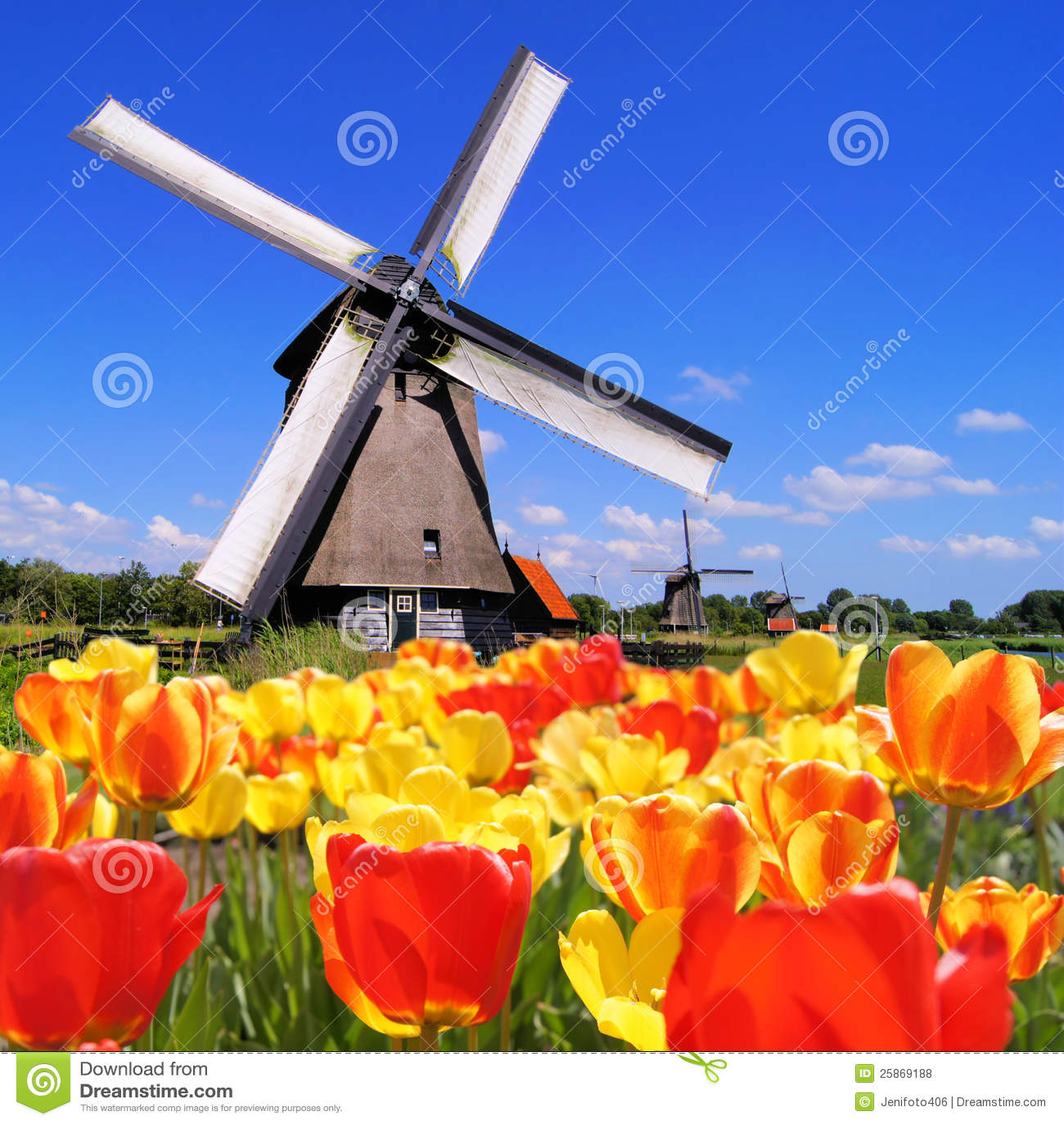 Holländska tulpan och windmills