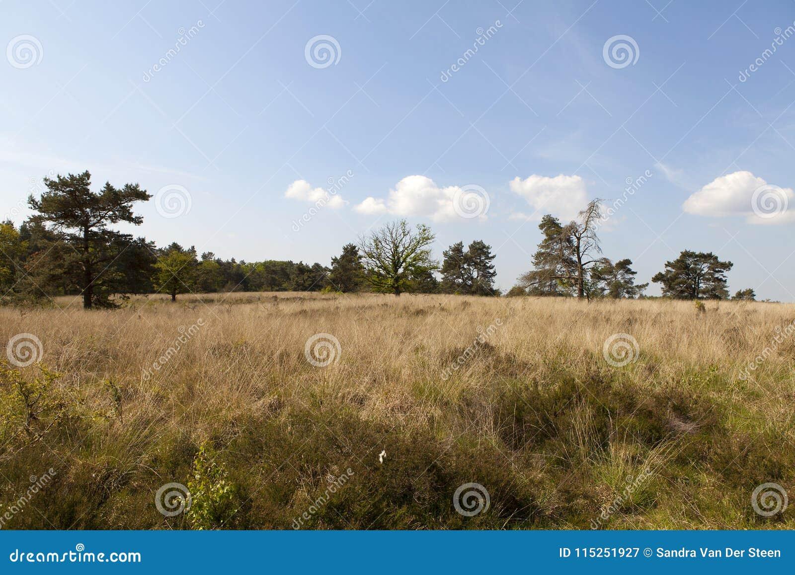 Holländskt ljungfält i tidig vår