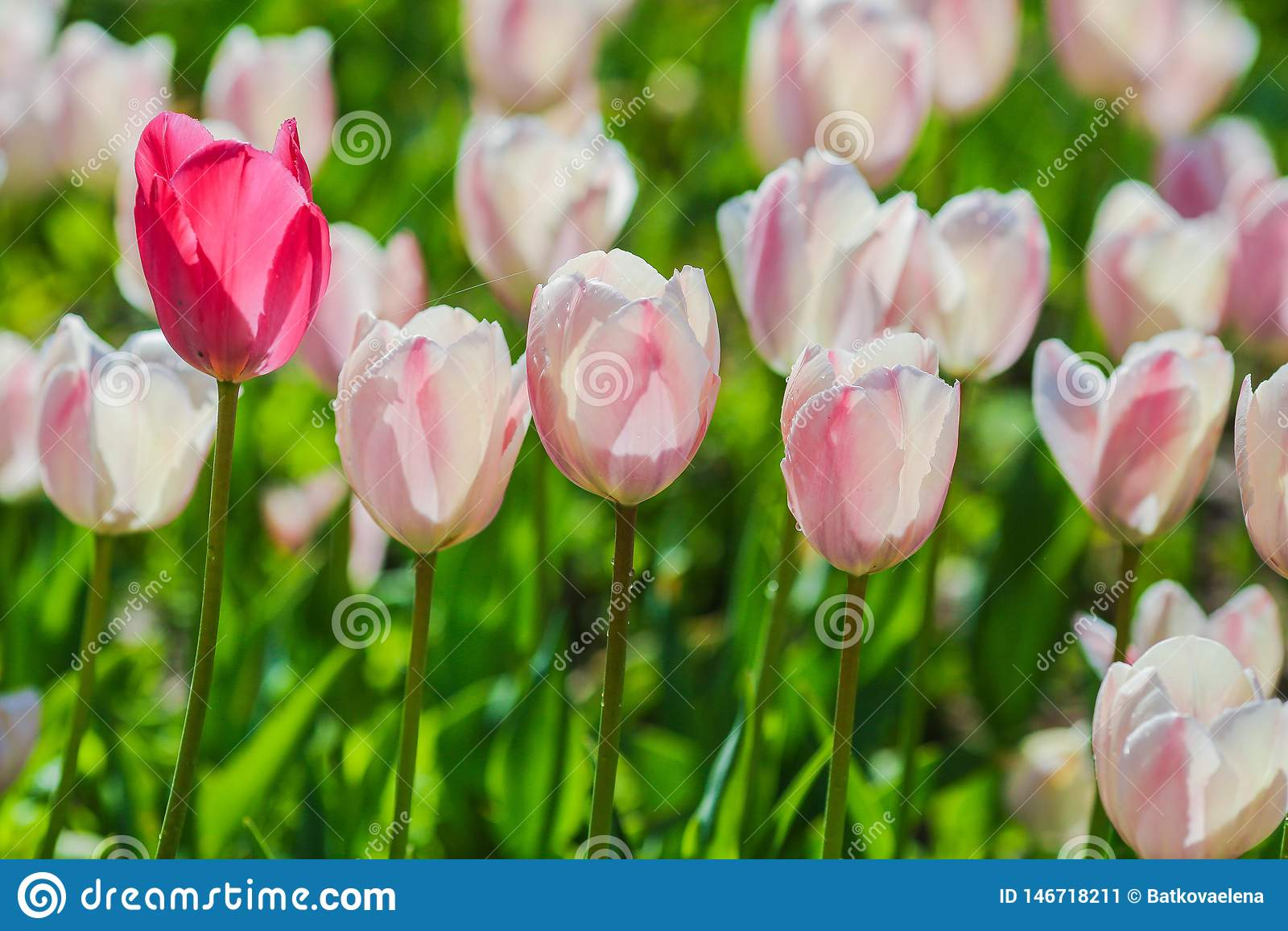 Holland tulpanf?lt V?rmagi av blomningen holl?ndska blommor F?rgrikt blomma landskap Nederländerna Lisse - tulpan