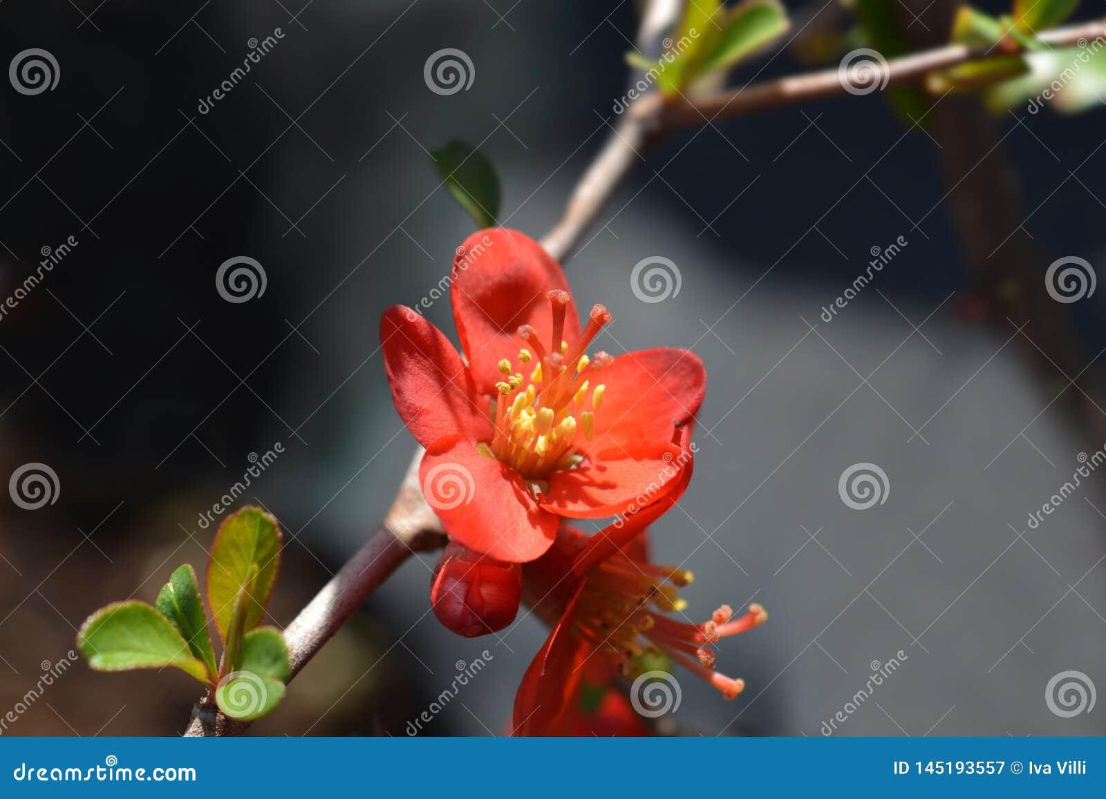 Hollandia Flowering Quince