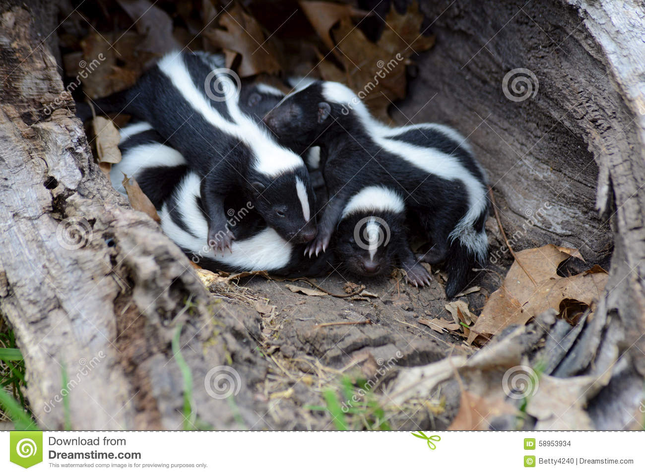 Hollow Log Filled With Baby Skunks Stock Photo Image