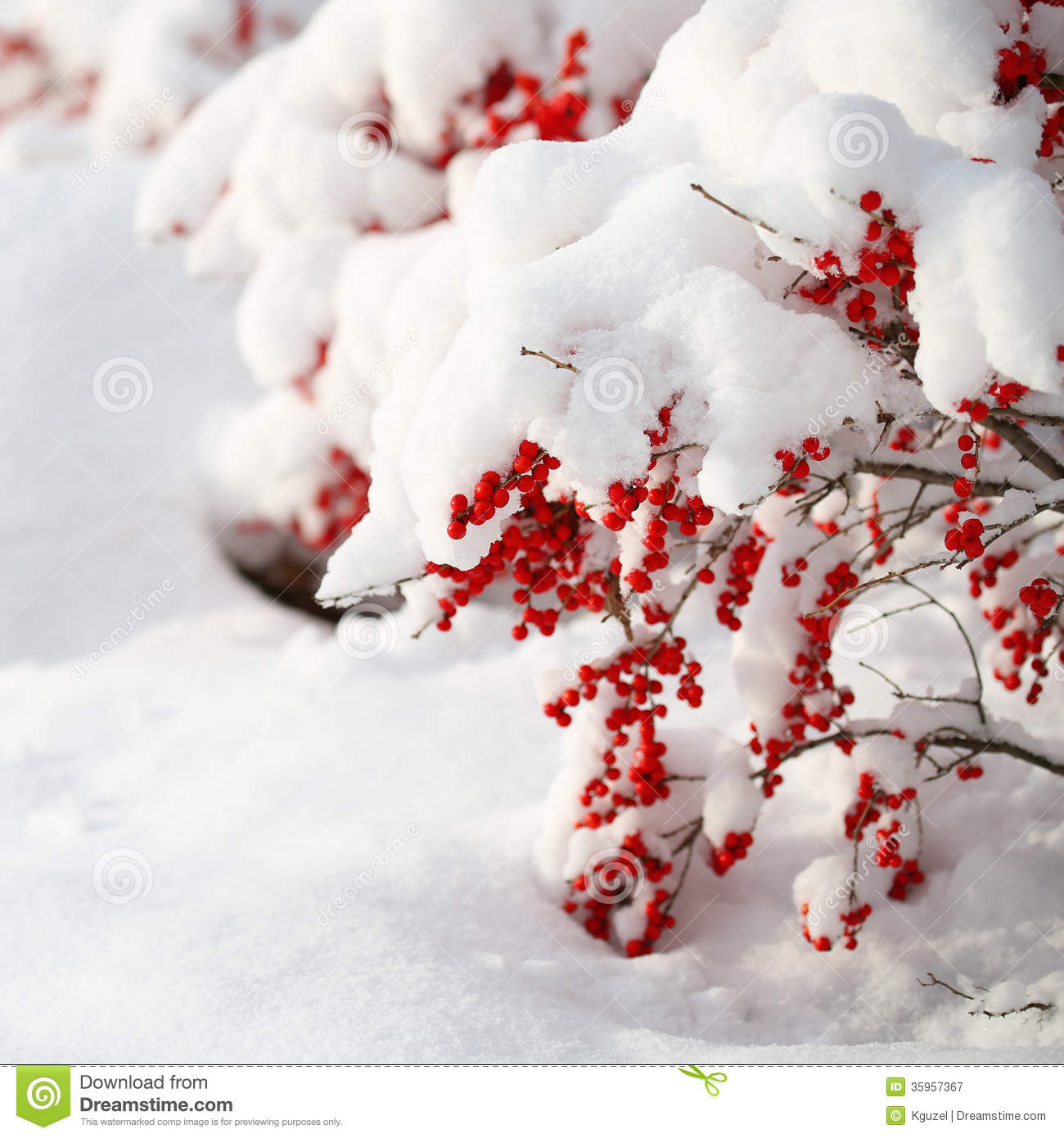 Holly Berries Bush Covered With Snow Christmas Outside