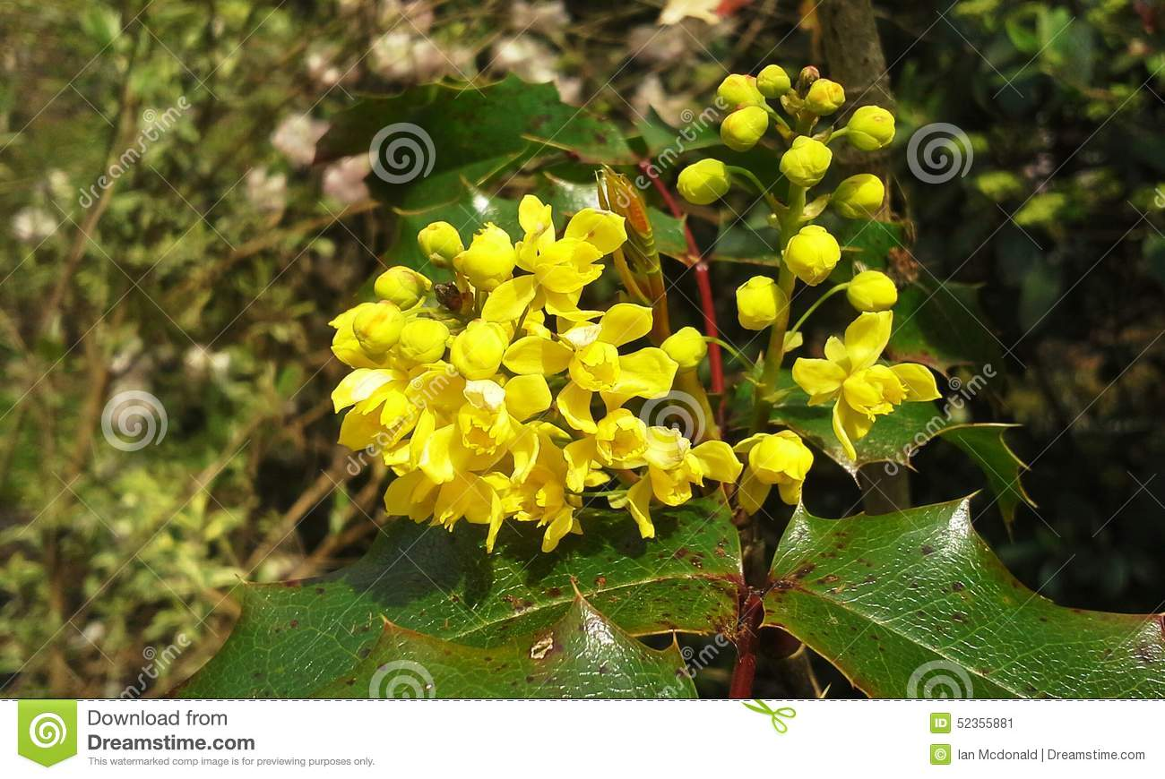 Holly blossoms stock image image of christmas blossoms 52355881 yellow flowers on a holly bush mightylinksfo