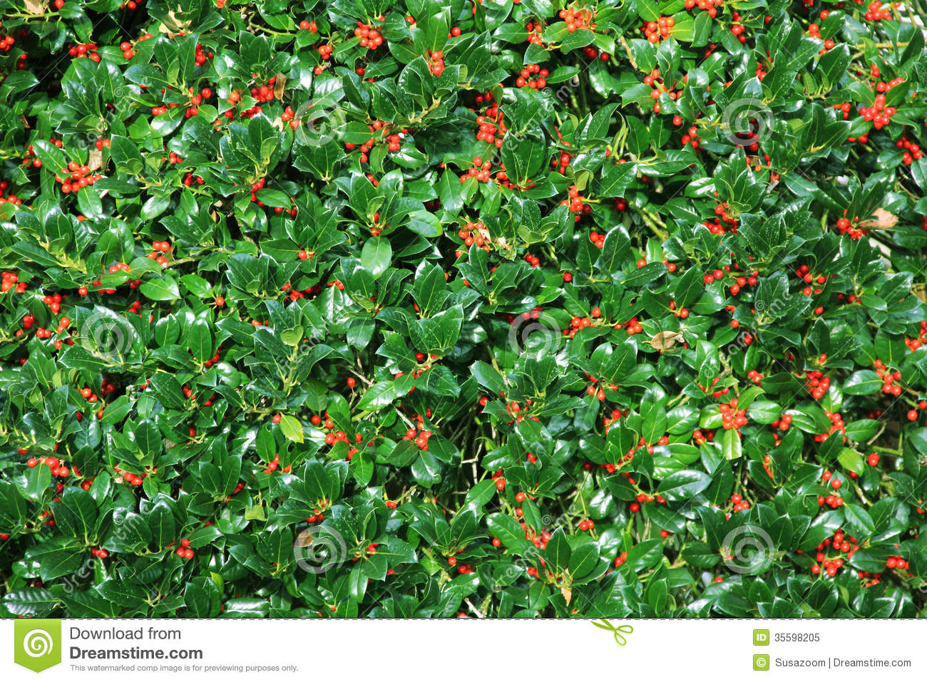 Holly Bush Hedge With Berries Royalty Free Stock Photo