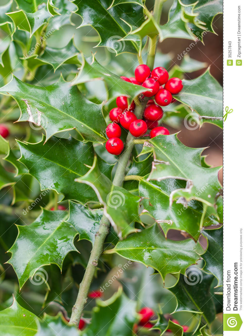 Holly Bush With Red Berries Stock Photos Image 35257843