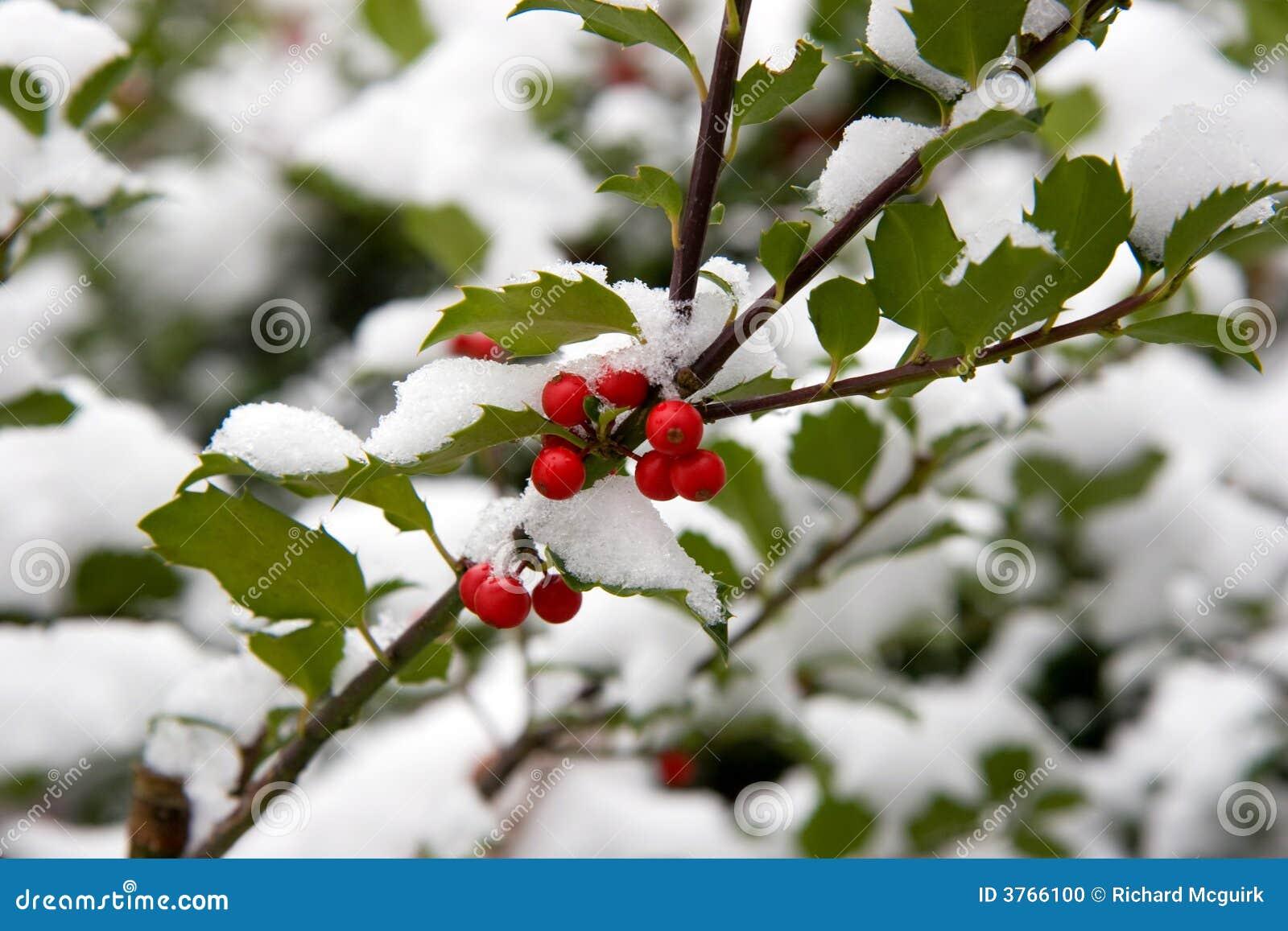 Holly Bush With Snow Stock Photo Image 3766100