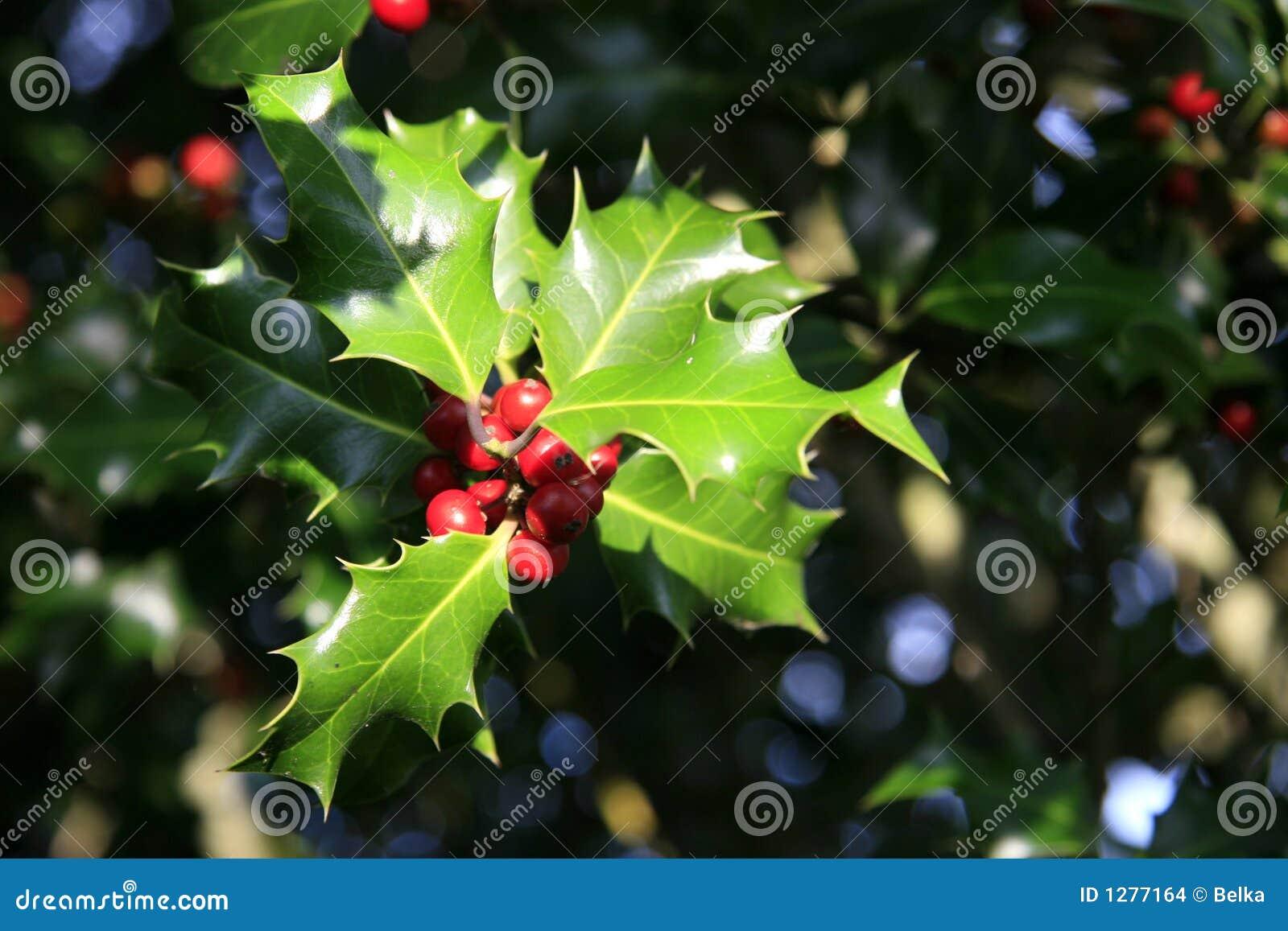 Holly drzewo