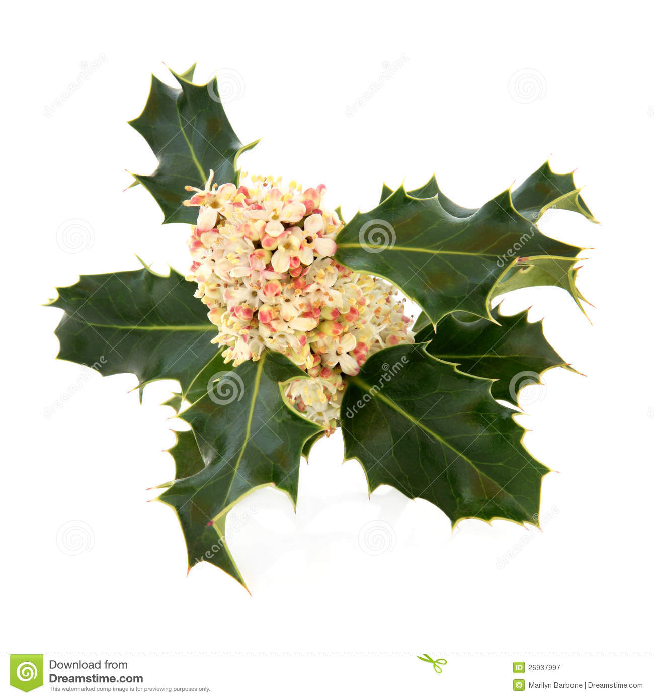 Holly Flower Royalty Free Stock graphy Image