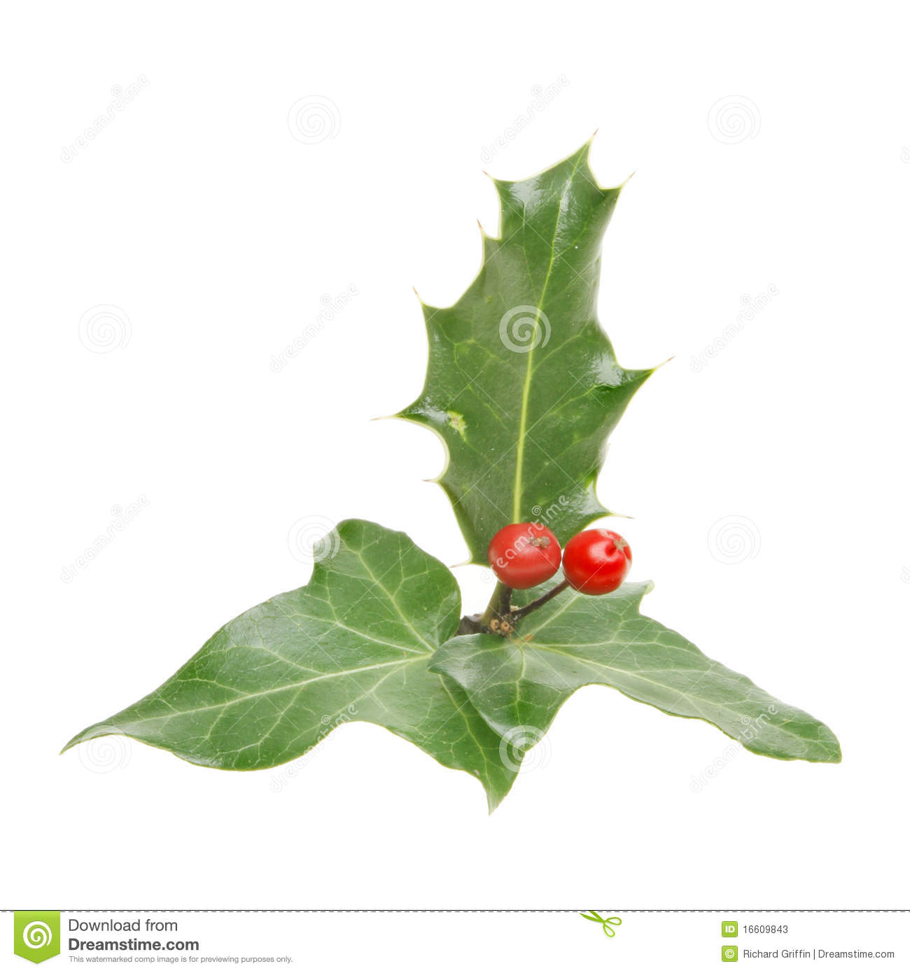 holly and ivy stock photos image 16609843 Holly Leaf Clip Art Holly Leaf Clip Art