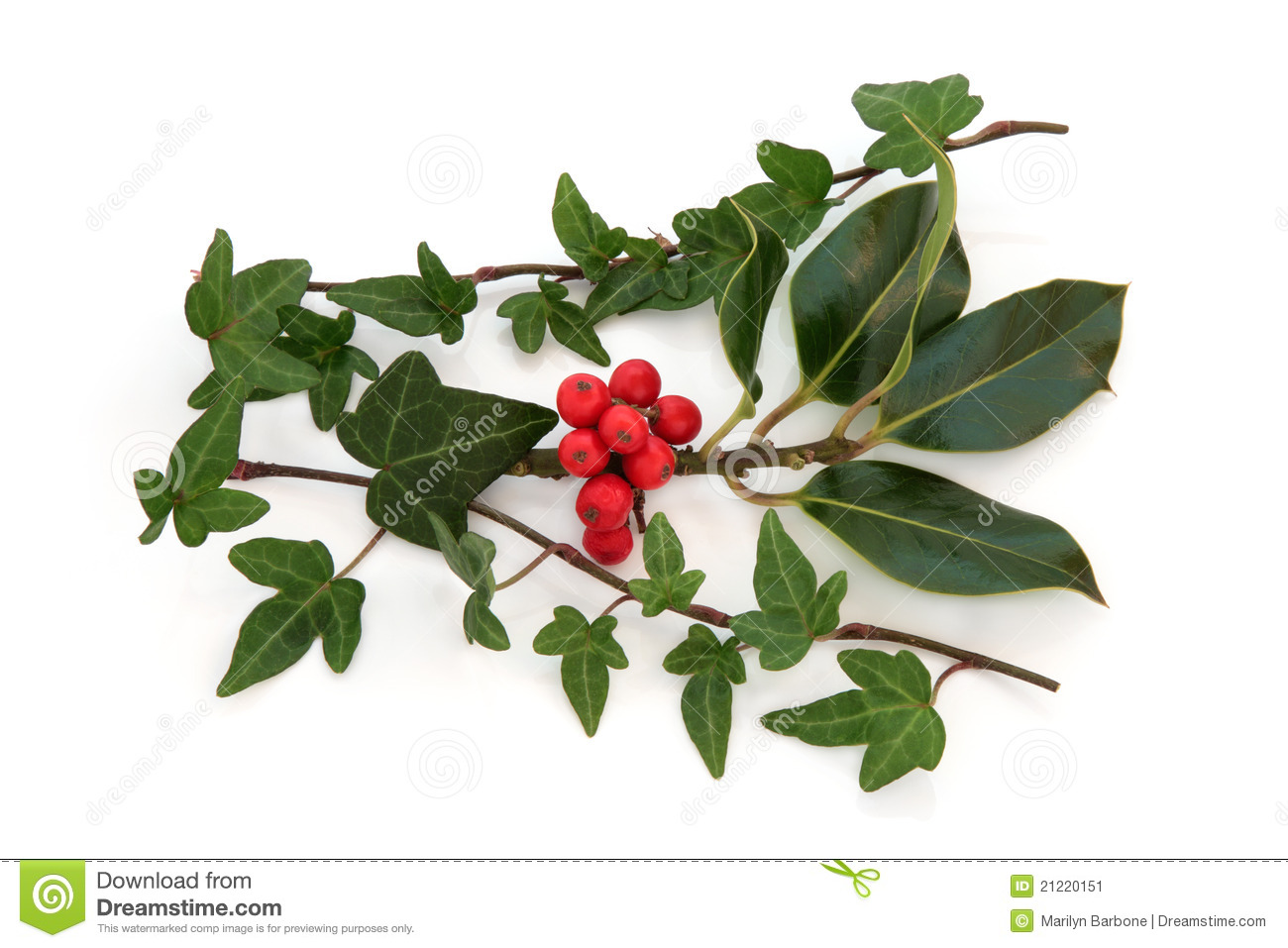Ivy leaf and holly leaf sprigs with red berries, isolated over white ...