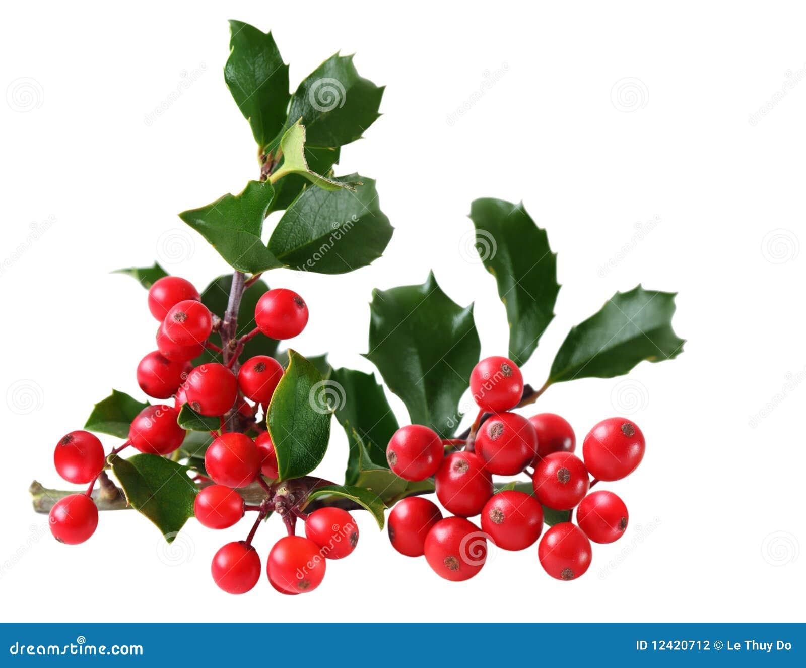 Holly jagodowi liść