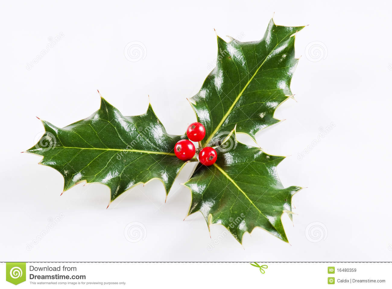 Holly leaf sprig with red berries, isolated over white background.