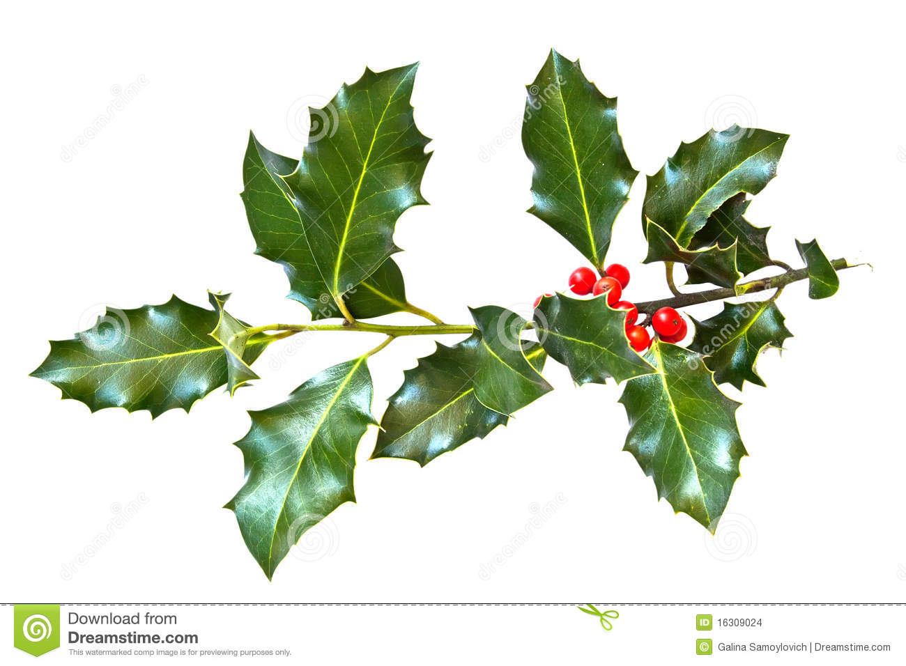 Free coloring pages of holly leaves