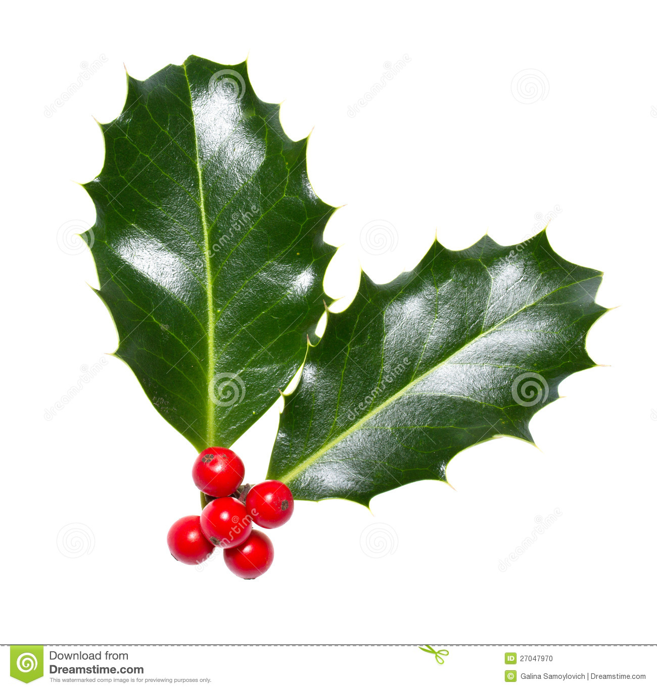 Holly leaves and berries stock photo image of holly for Holl image