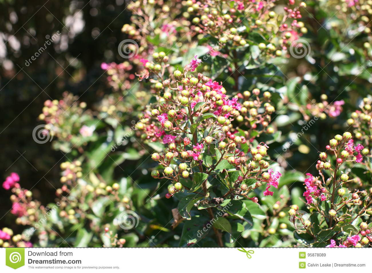 Holly shrub with pink flowers stock image image of plant bush download holly shrub with pink flowers stock image image of plant bush 95878089 mightylinksfo