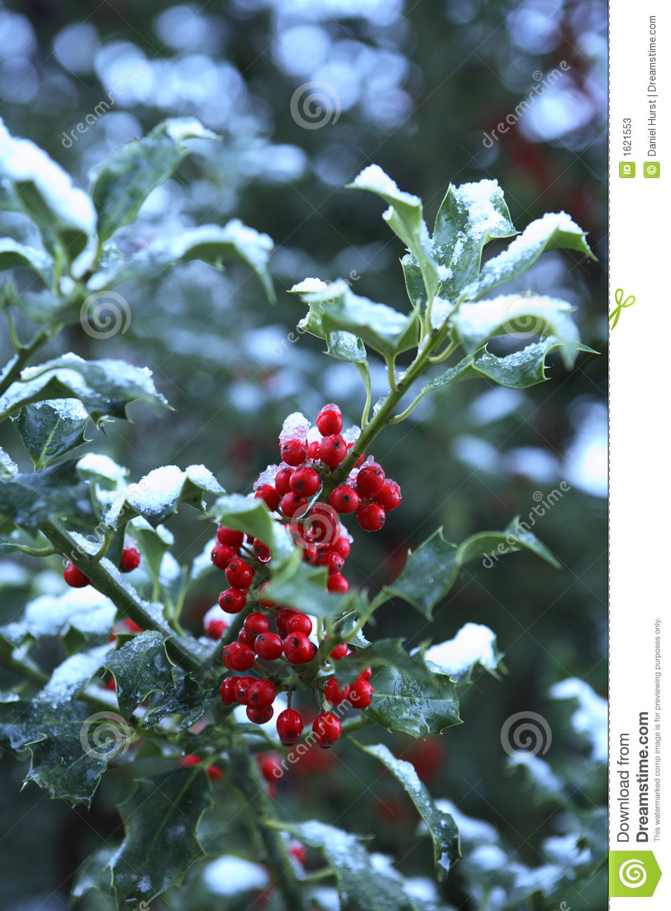 holly with snow stock photos image 1621553