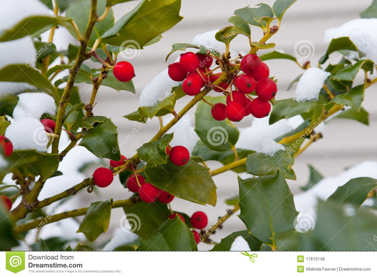 Holly With Snow Royalty Free Stock Images Image 17615149