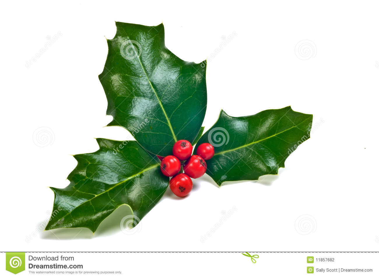 Holly Sprig Stock Photography Image 11857682
