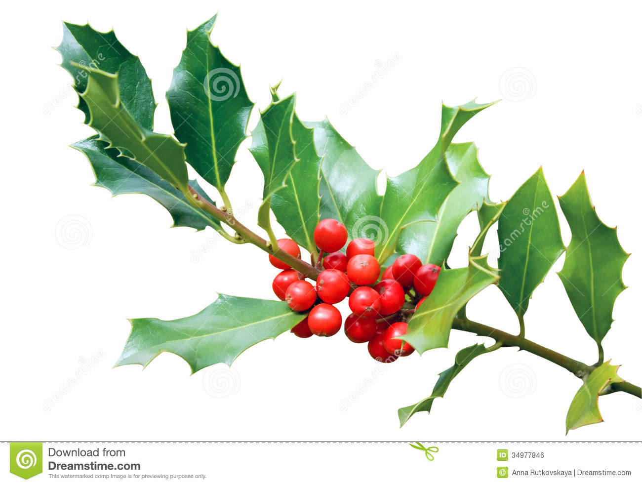 Holly tree branch isolated on white stock photo image of for Holl image