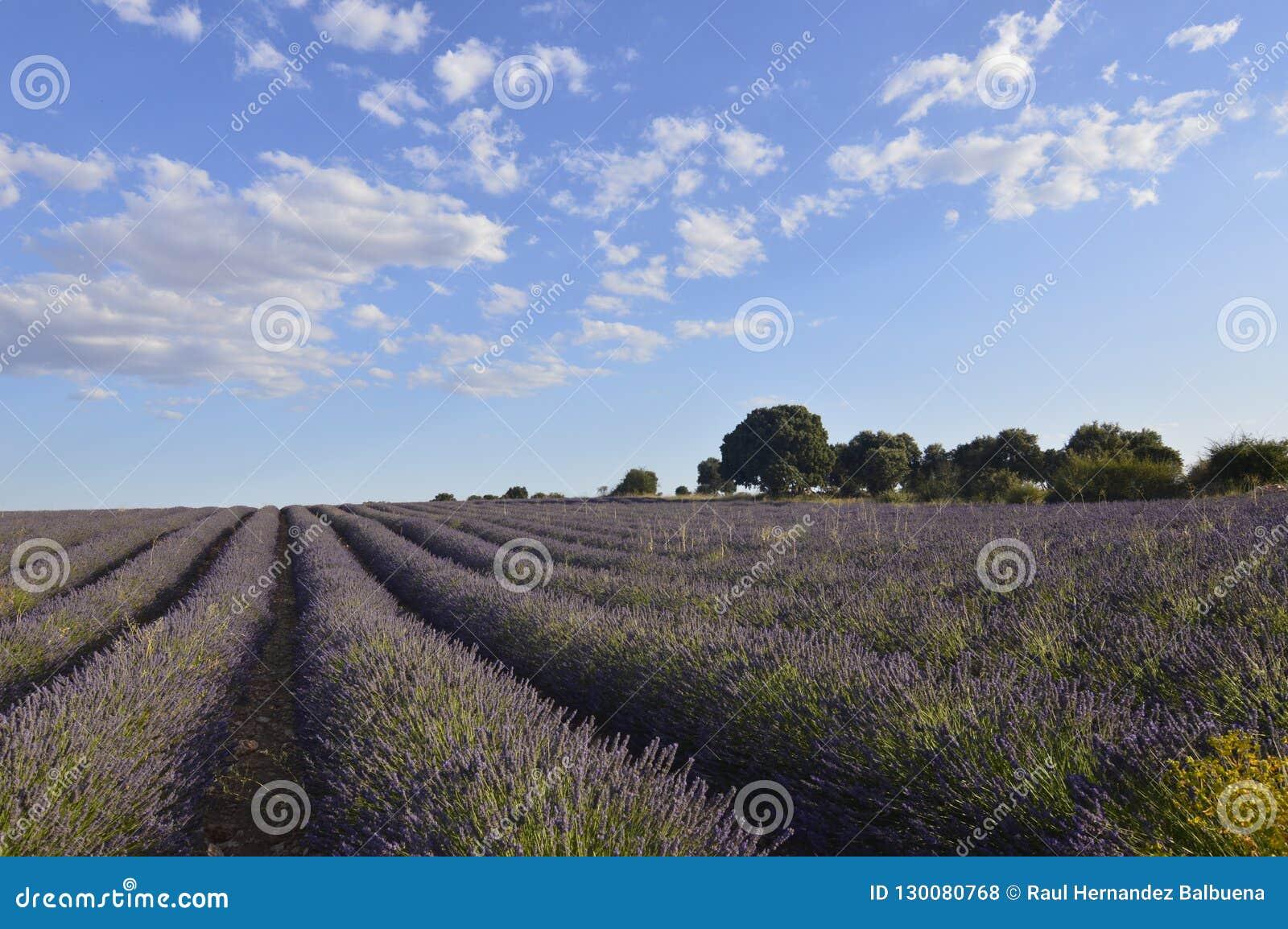 Holm Oak Forest Next To rema de la lavanda con un cielo con las nubes preciosas en un prado de Brihuega Naturaleza, plantas, olor