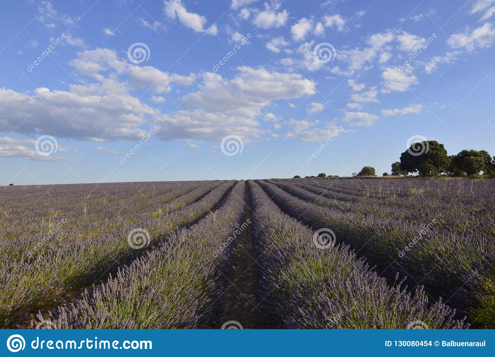 Holm Oak Forest Next To Rows Of Lavender With A Sky With Lovely Clouds In A Brihuega Meadow. Nature, Plants, Odors, Landscapes