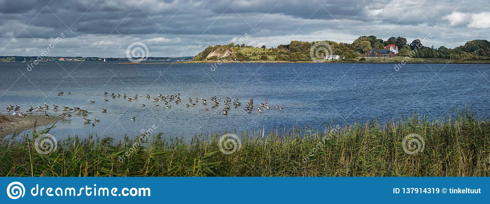 Holnis peninsula on the Flensburg Fjord with grey geese