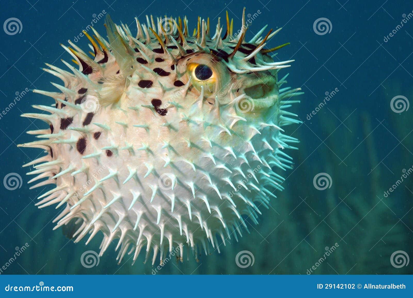 Holocanthus del Blowfish o del diodon subacuático en el océano