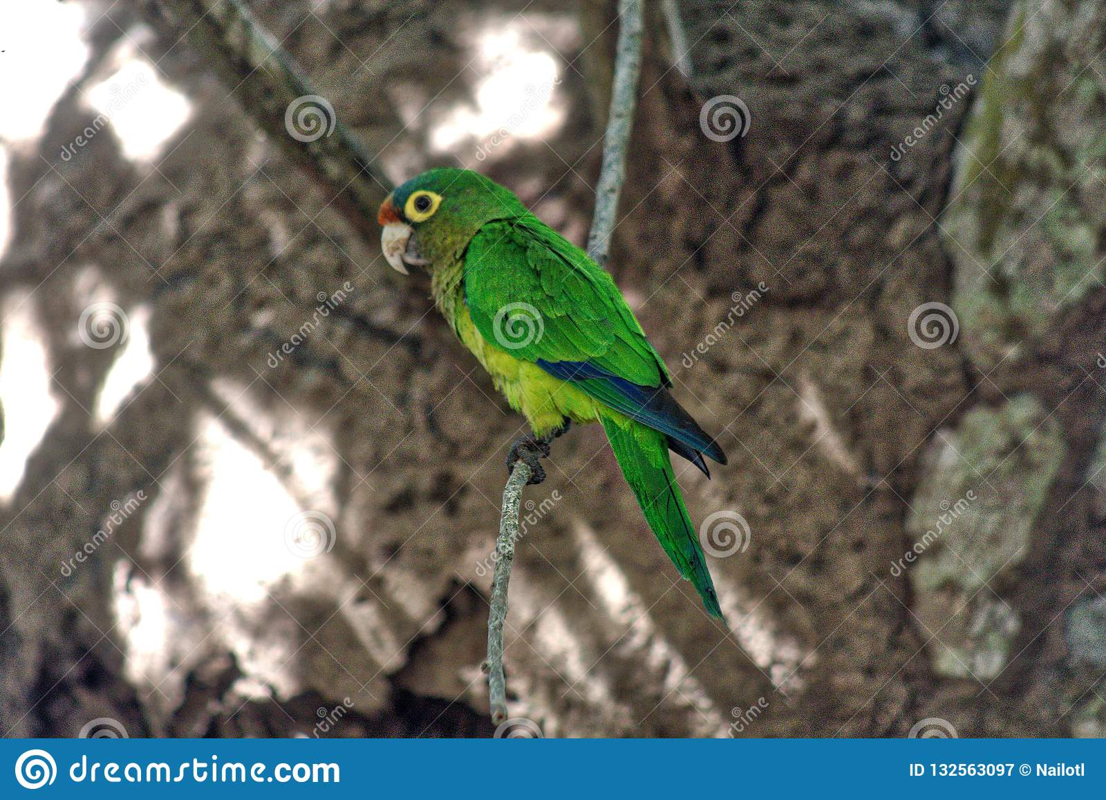 Holochlorus Psittacara, μεξικάνικο πράσινο parakeet στην αιχμαλωσία, λιμνοθάλασσα του oaxaca ventanilla, México