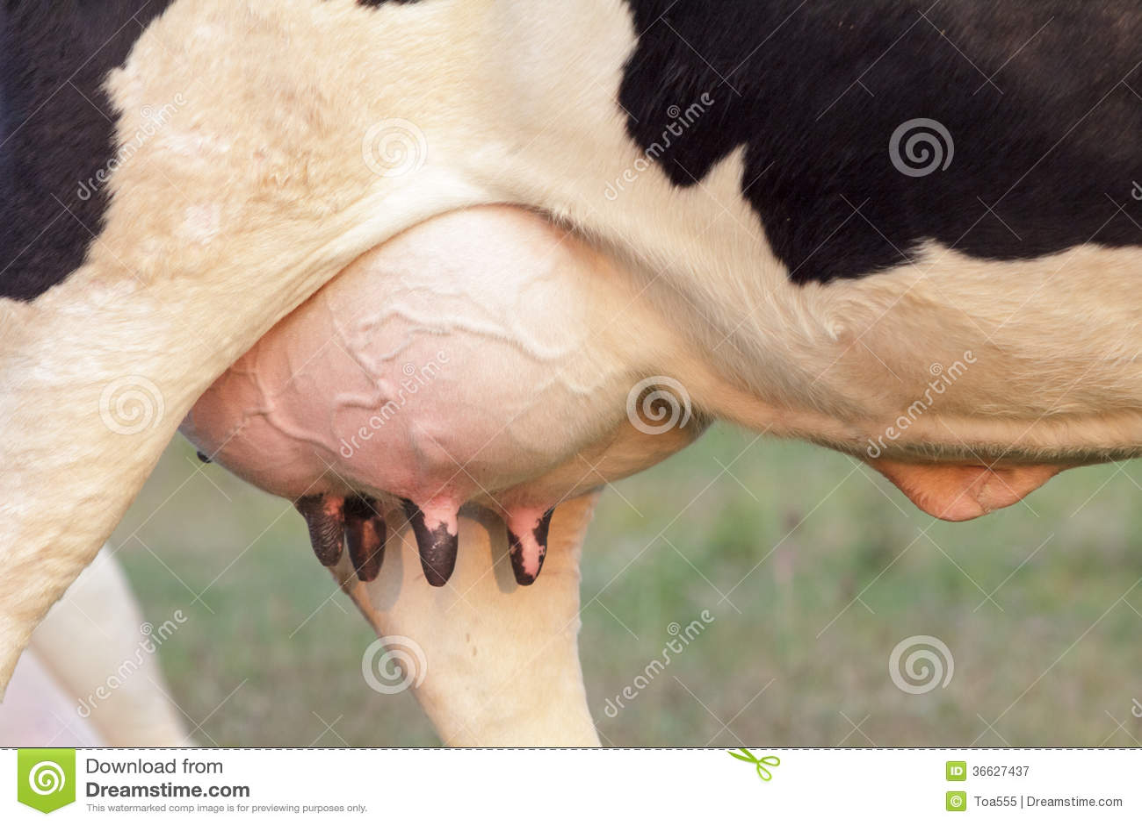 holstein cow big udder full of milk stock image image of closeup